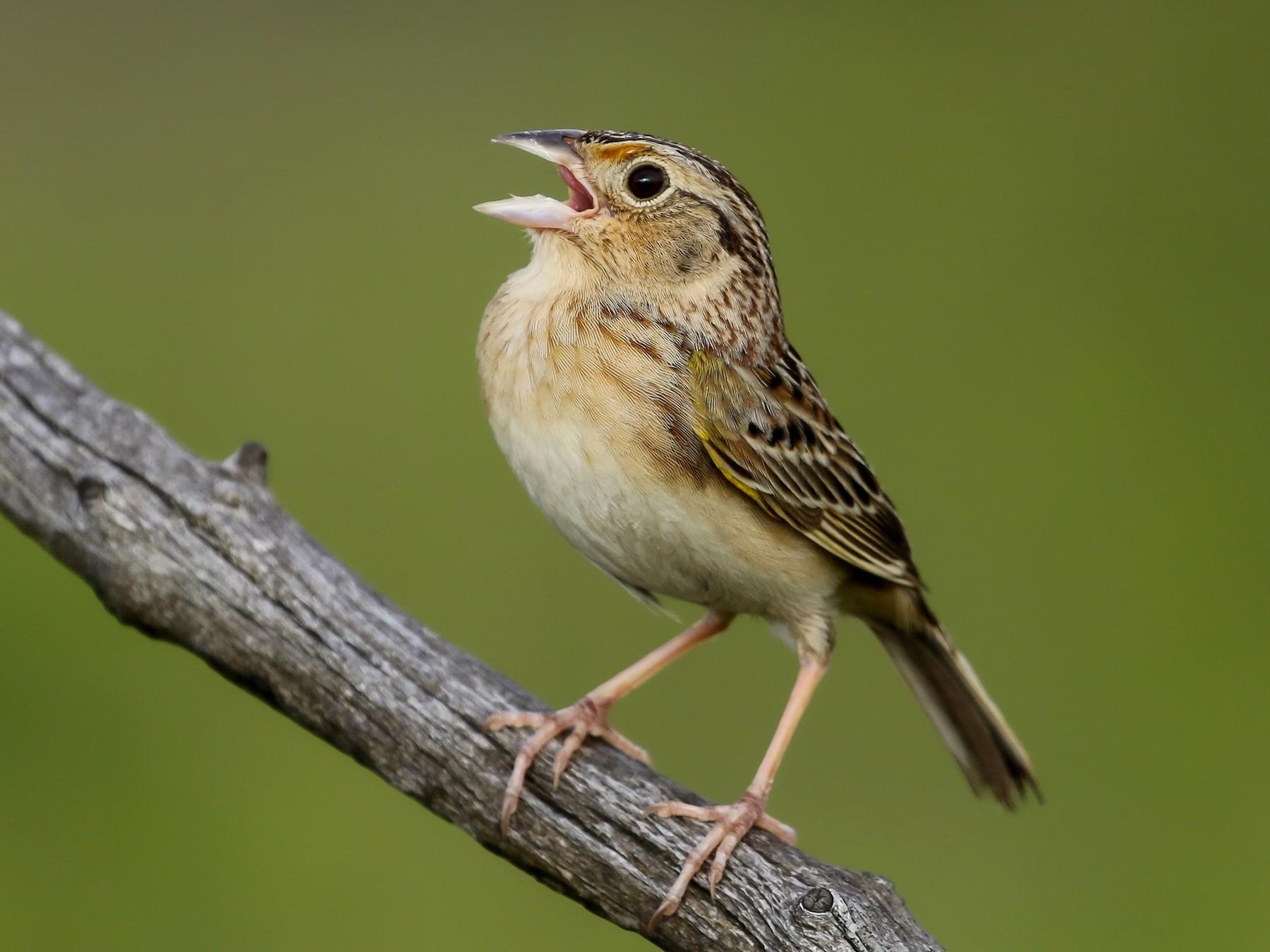 Grasshopper Sparrow - Kojo Baidoo