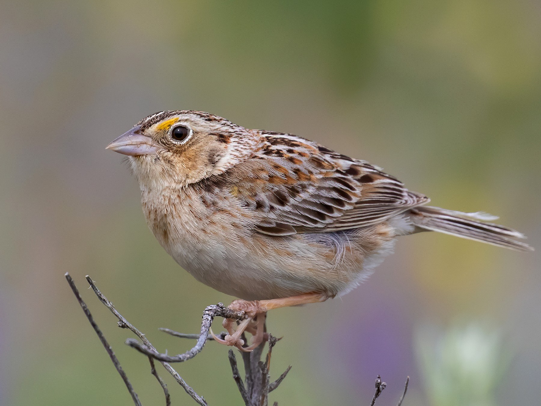 Grasshopper Sparrow - Blair Dudeck