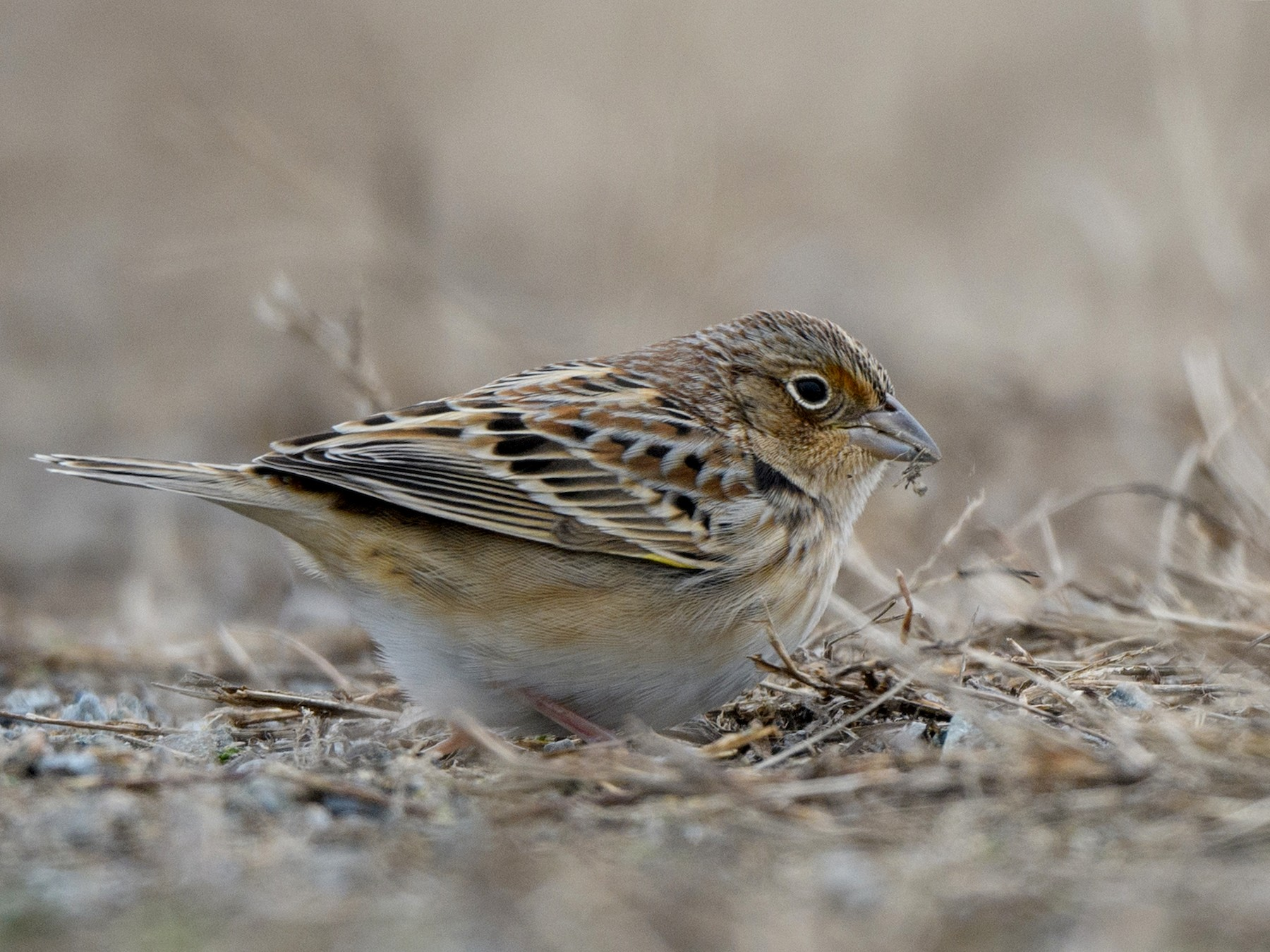 Grasshopper Sparrow - Steve Rappaport