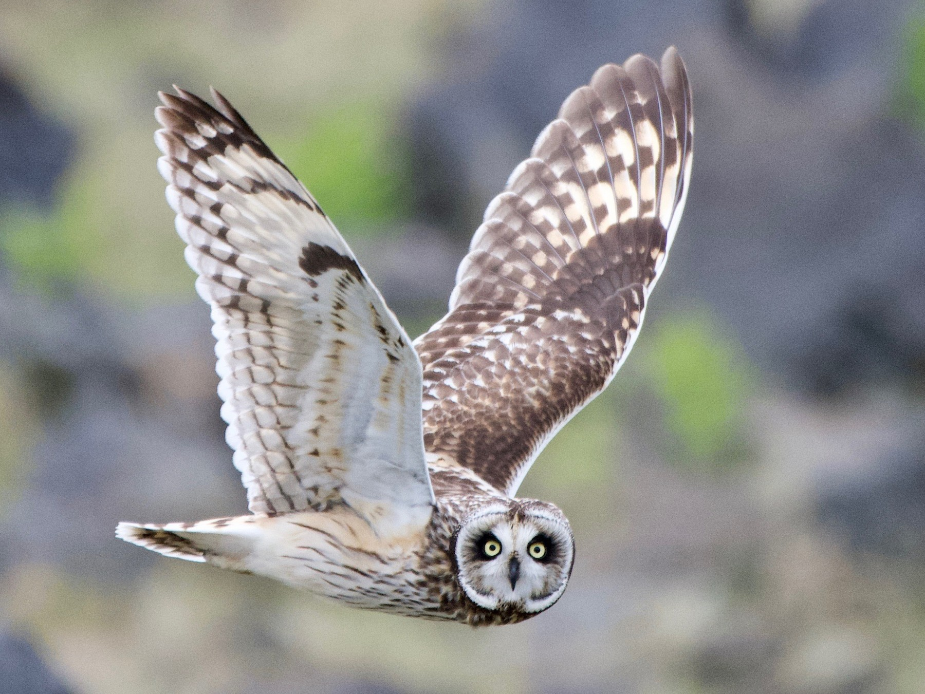 Short-eared Owl - Lizabeth Southworth