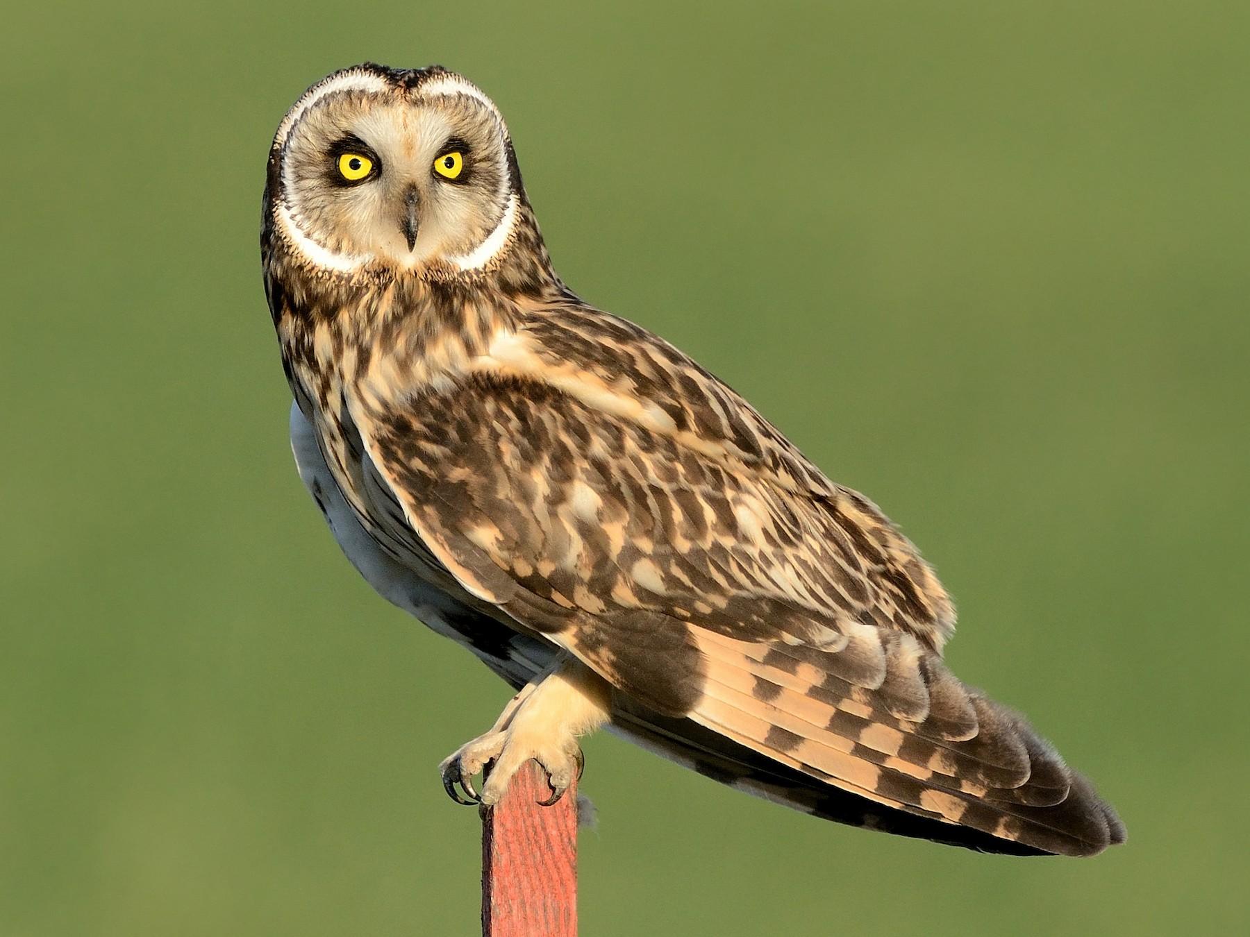 Short-eared Owl - Pavel Štěpánek