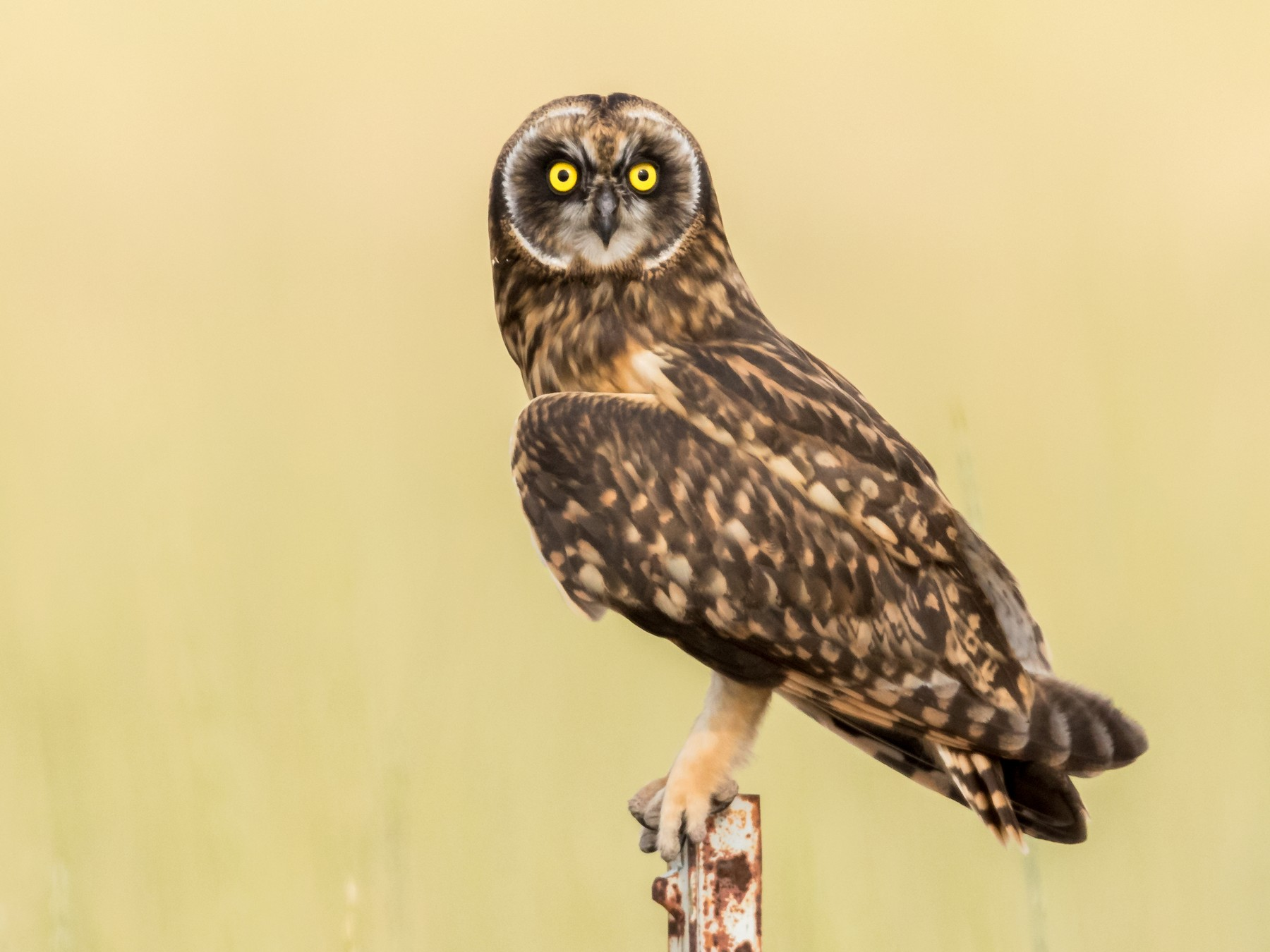 Short-eared Owl - Brad Imhoff