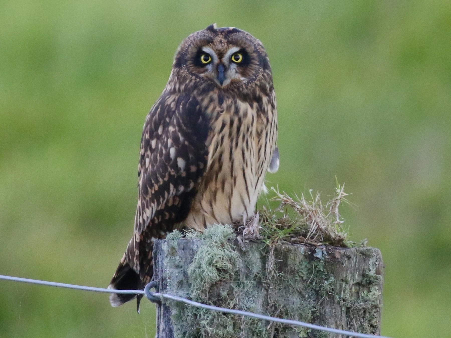 Short-eared Owl - Eric Gustafson