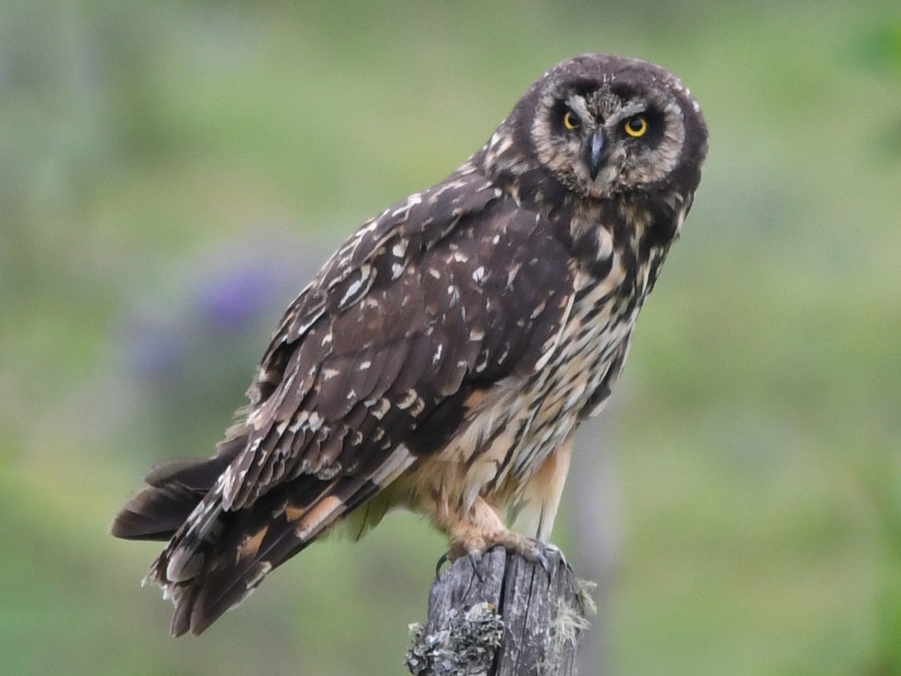 Short-eared Owl - Marie O'Neill