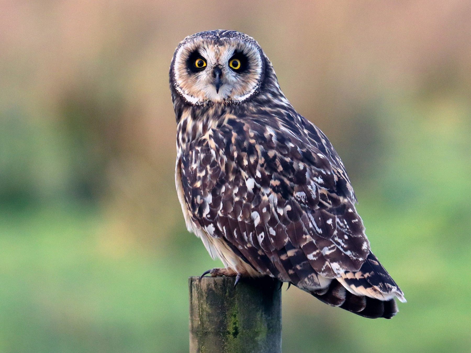 Short-eared Owl - Claudio Veliz