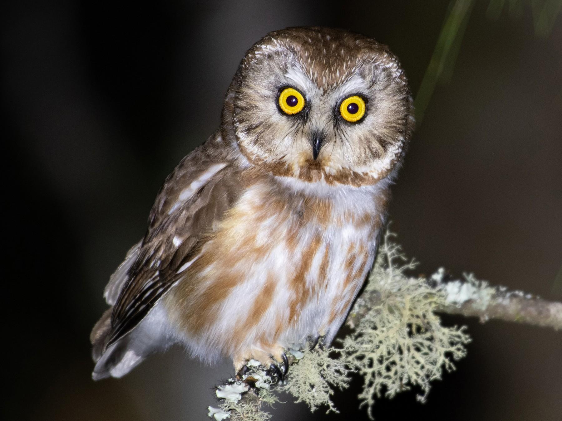 Northern Saw-whet Owl - Ana Paula Oxom
