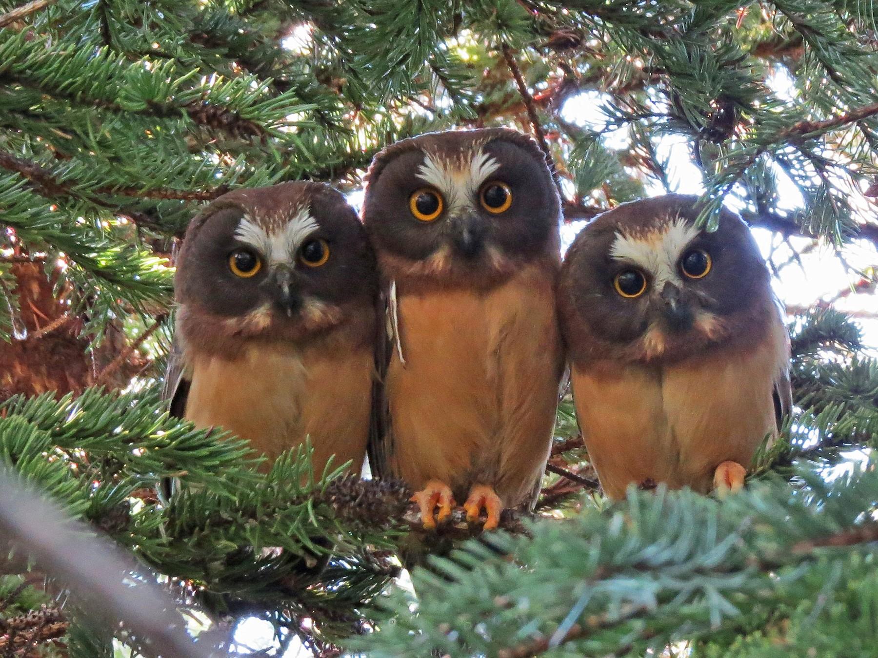 Northern Saw-whet Owl - Ray Wershler