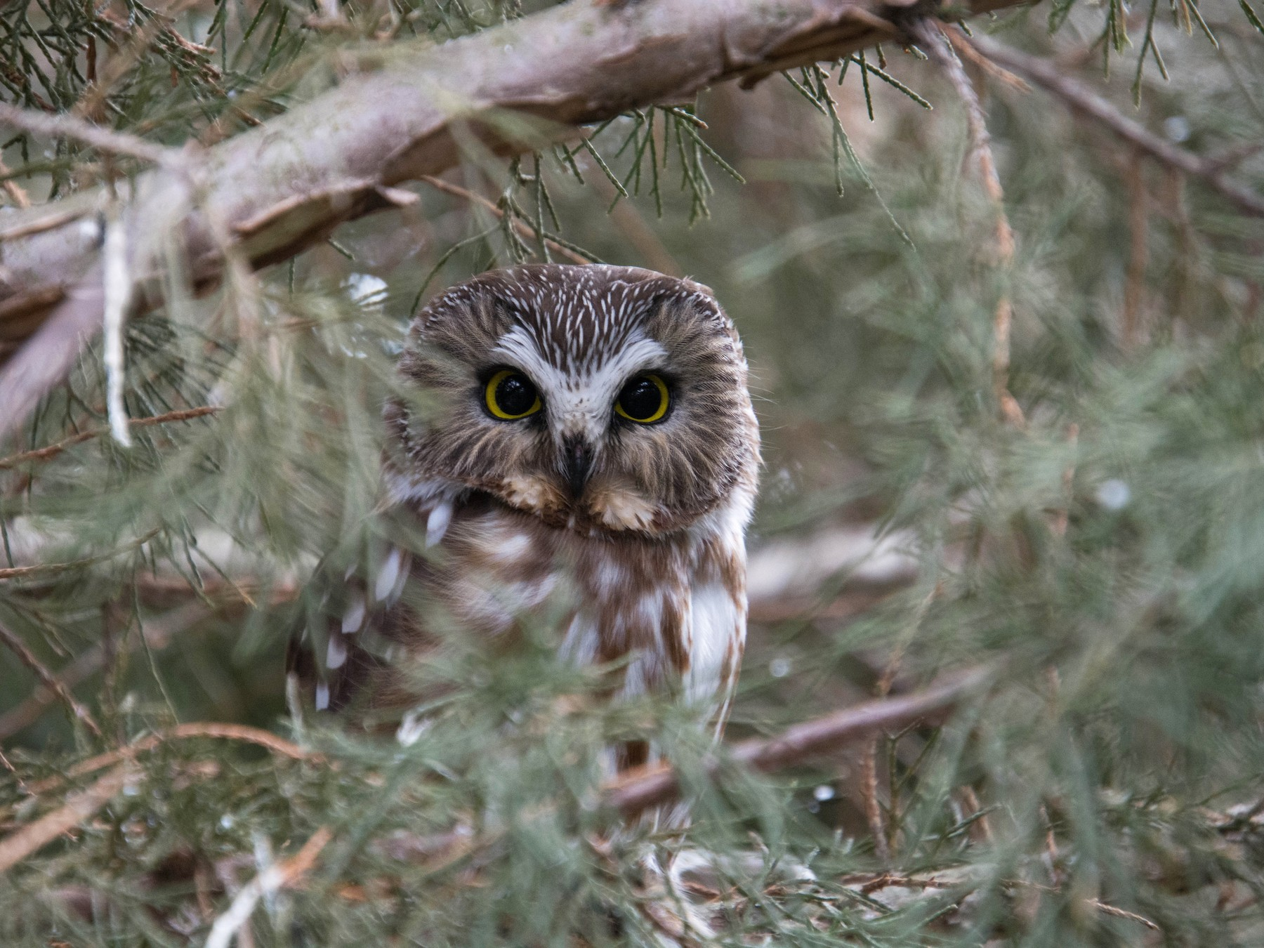 Northern Saw-whet Owl - Kenny Miller