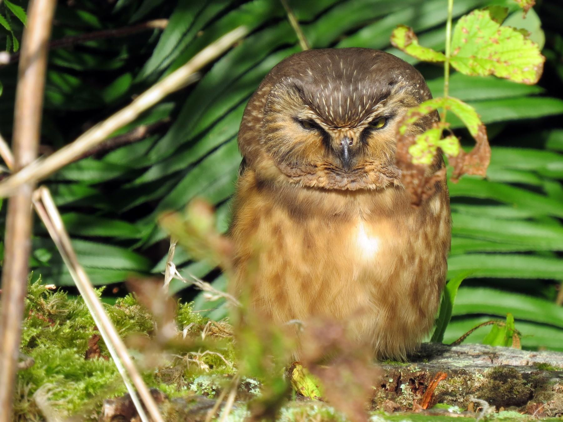 Northern Saw-whet Owl - James Bradley