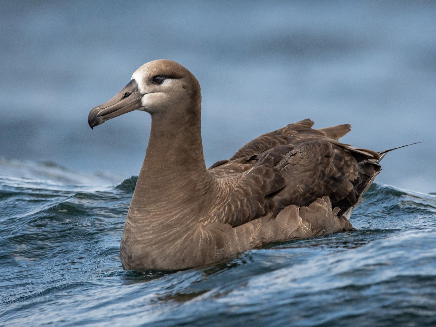 Black-footed Albatross - Mason Maron