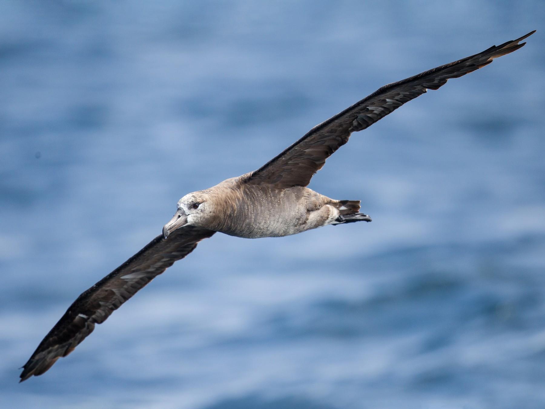 Black-footed Albatross - Caroline Lambert