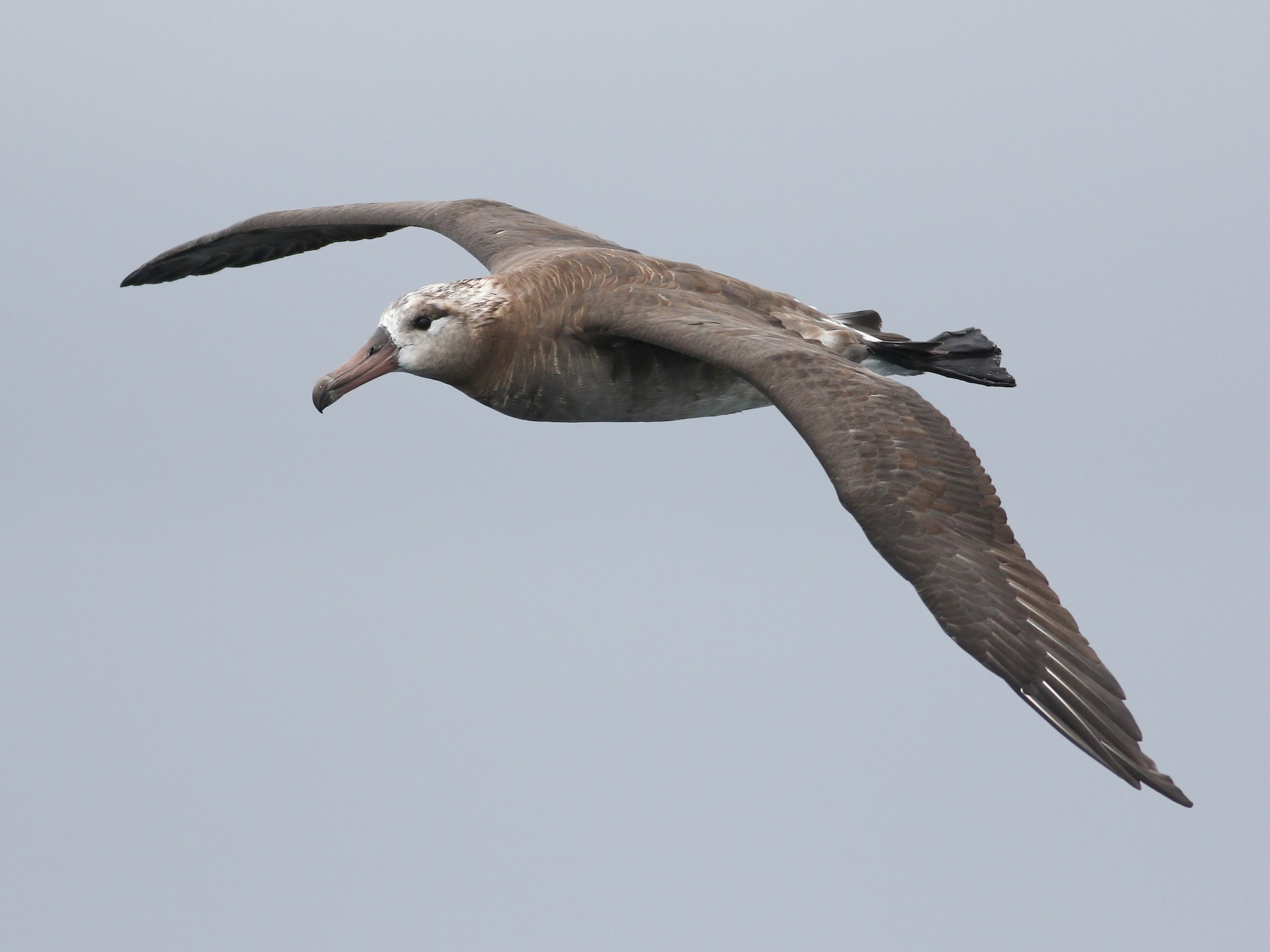 Black-footed Albatross - Jonathan Eckerson