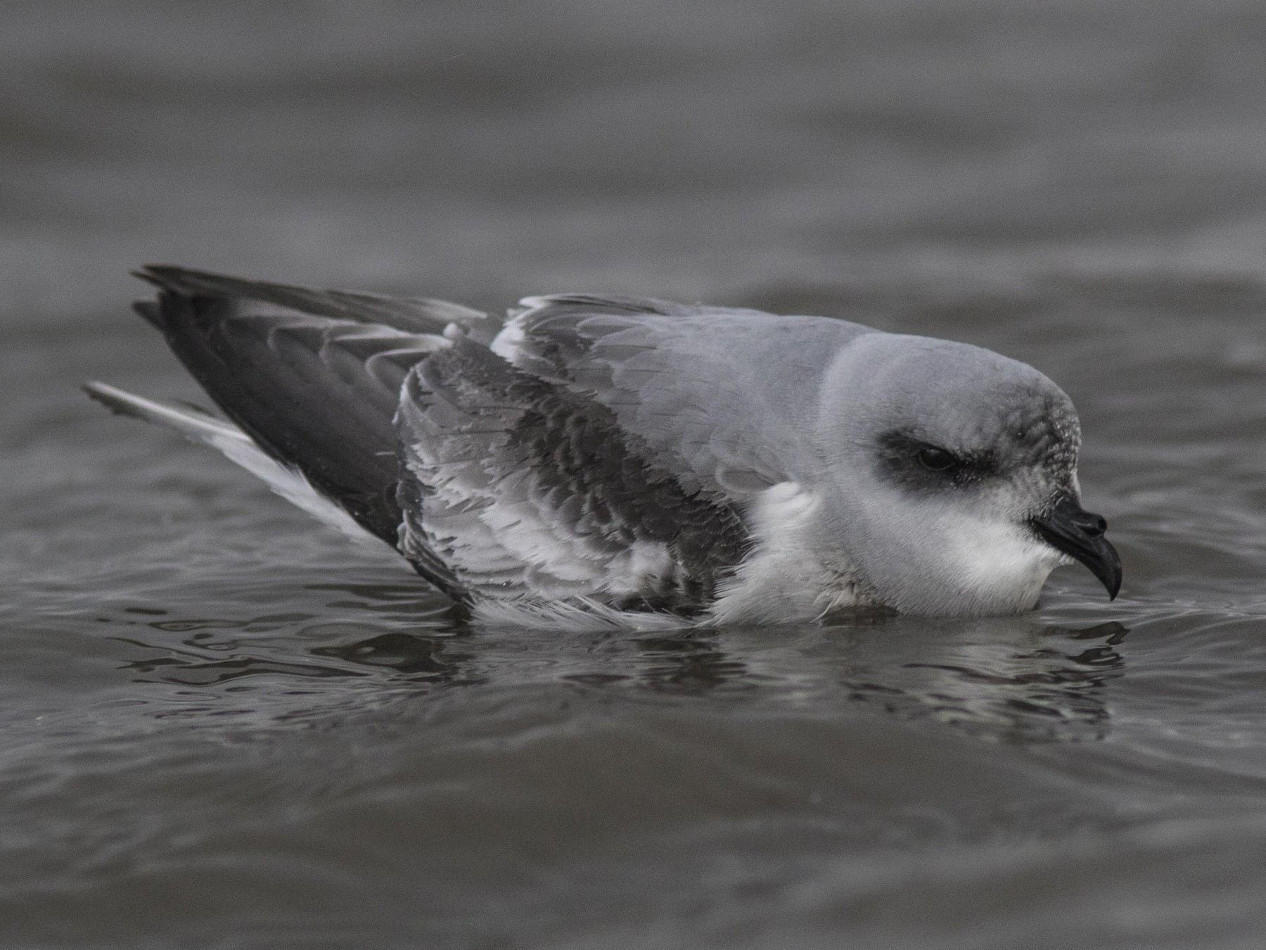 Fork-tailed Storm-Petrel - Bryce Robinson