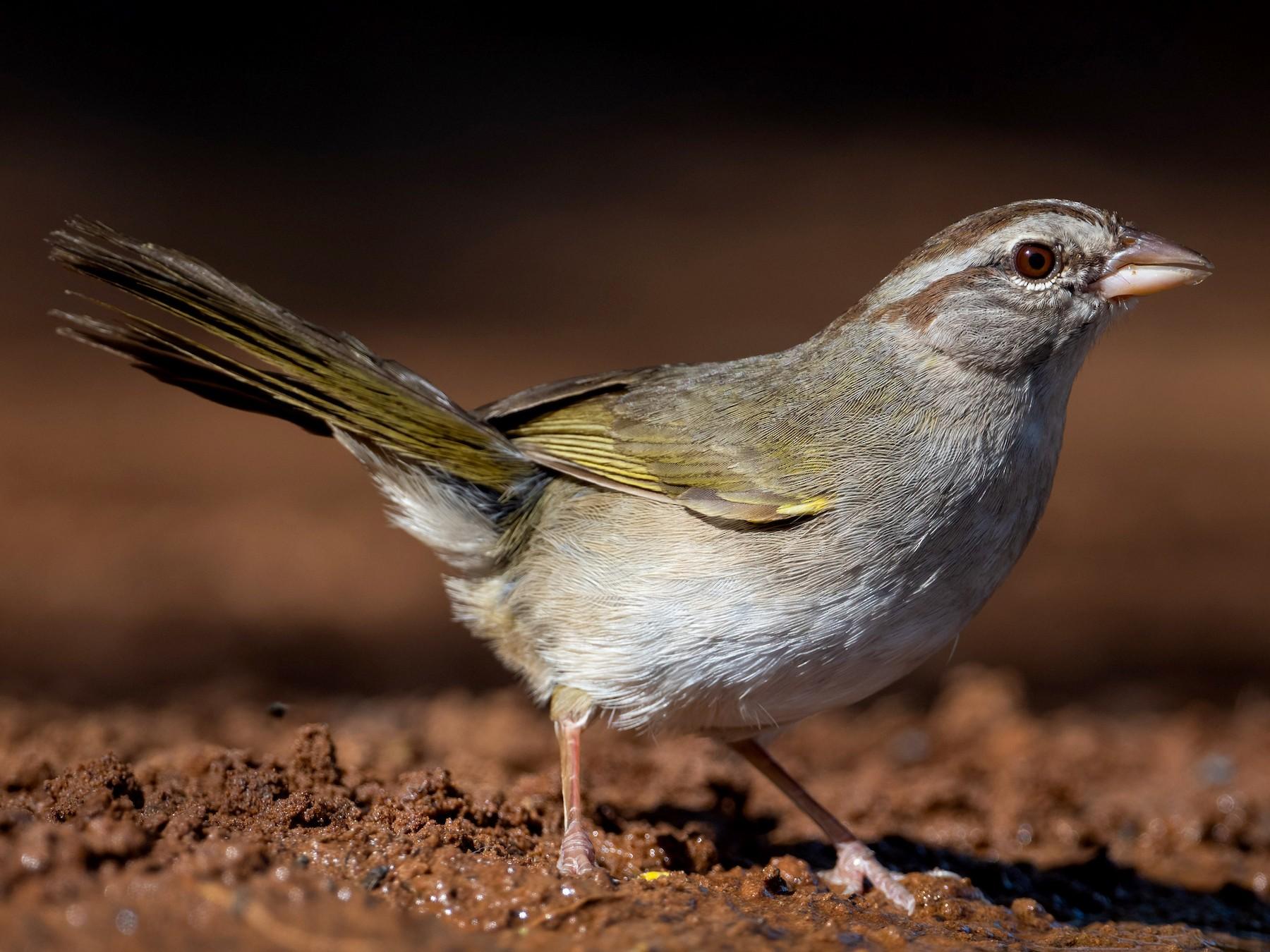Olive Sparrow - Suzie McCann
