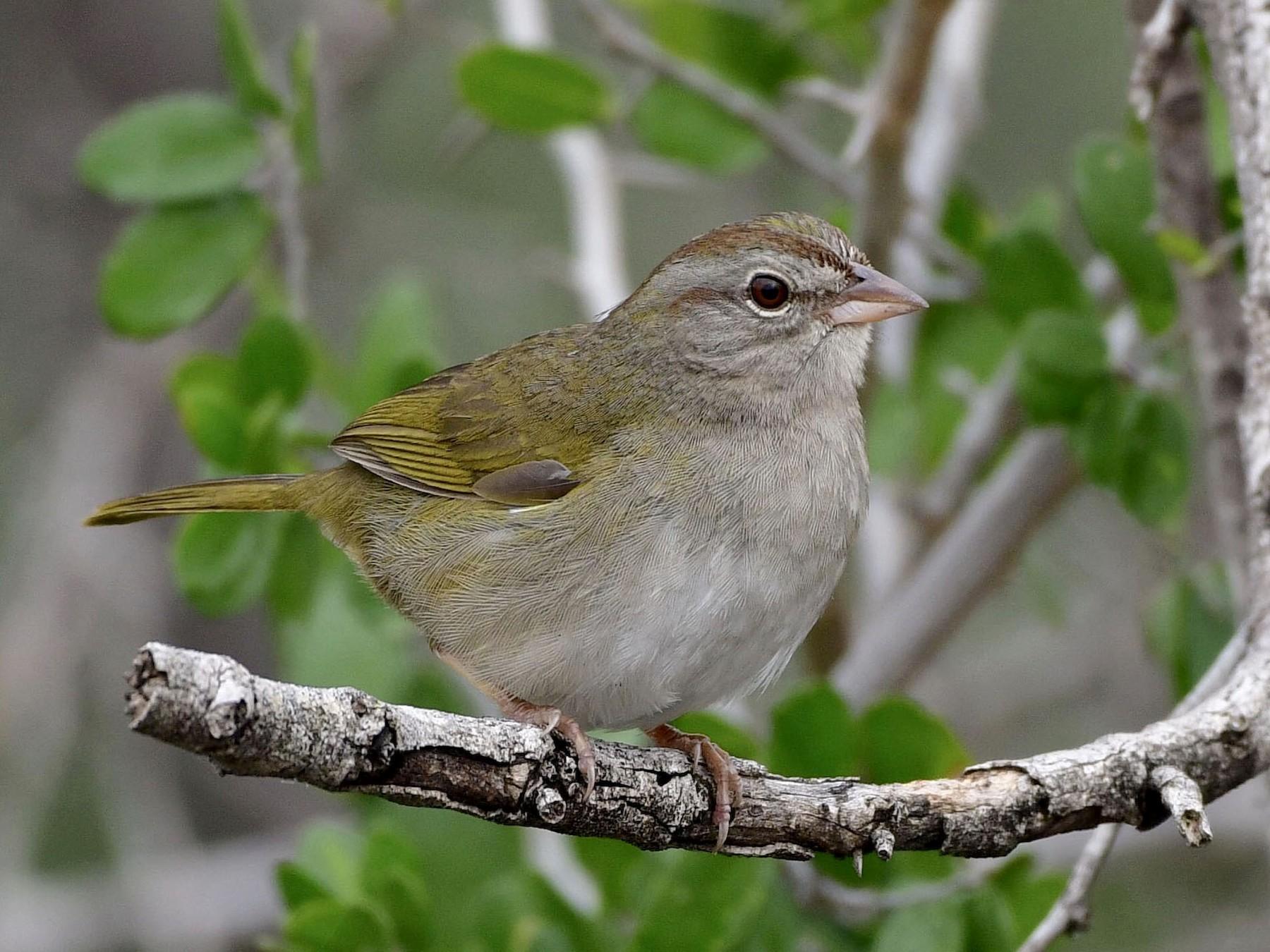 Olive Sparrow - Marky Mutchler