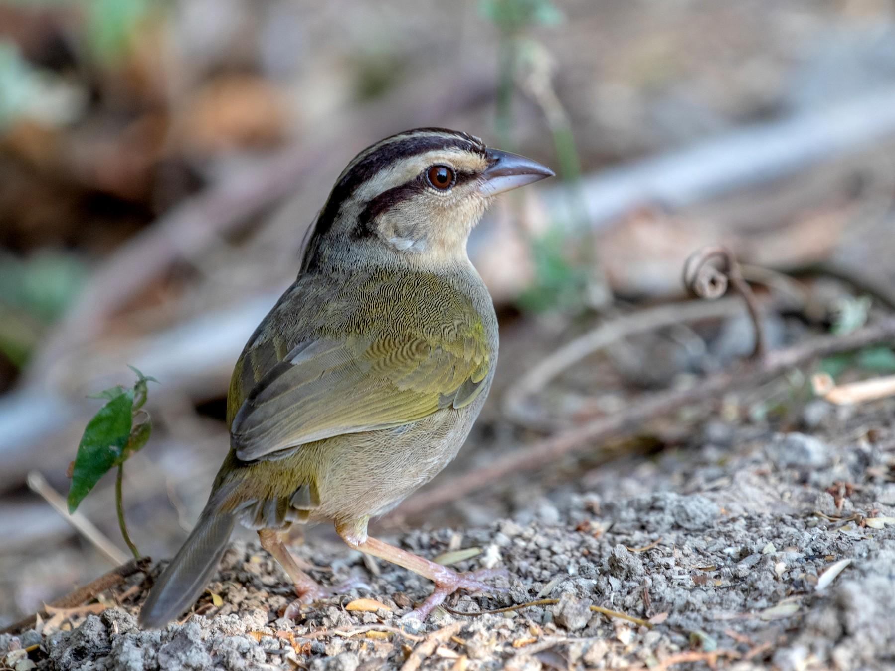 Olive Sparrow - kenneth reyes