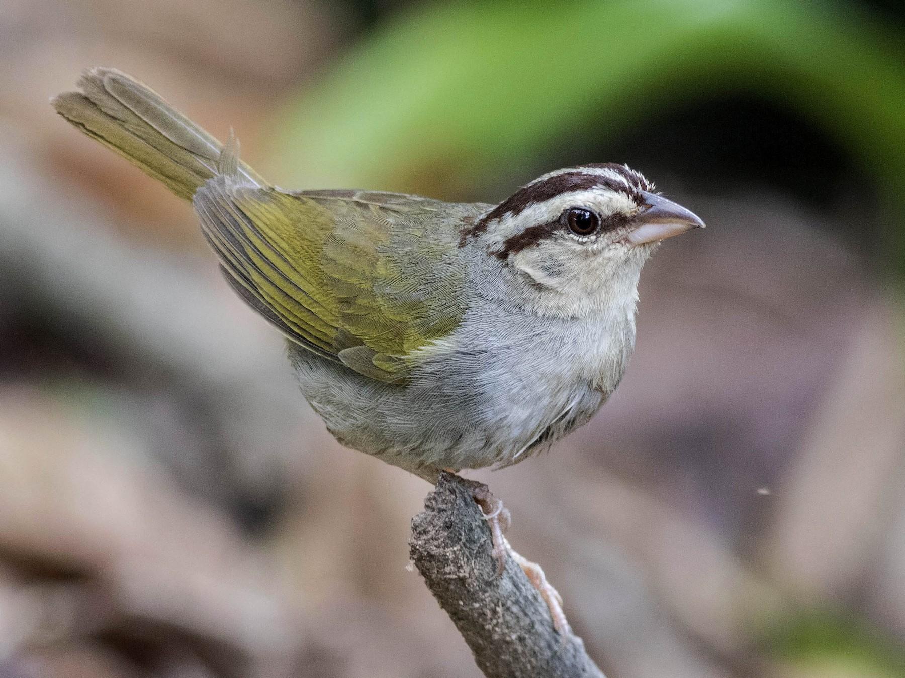 Olive Sparrow - Guillermo  Saborío Vega