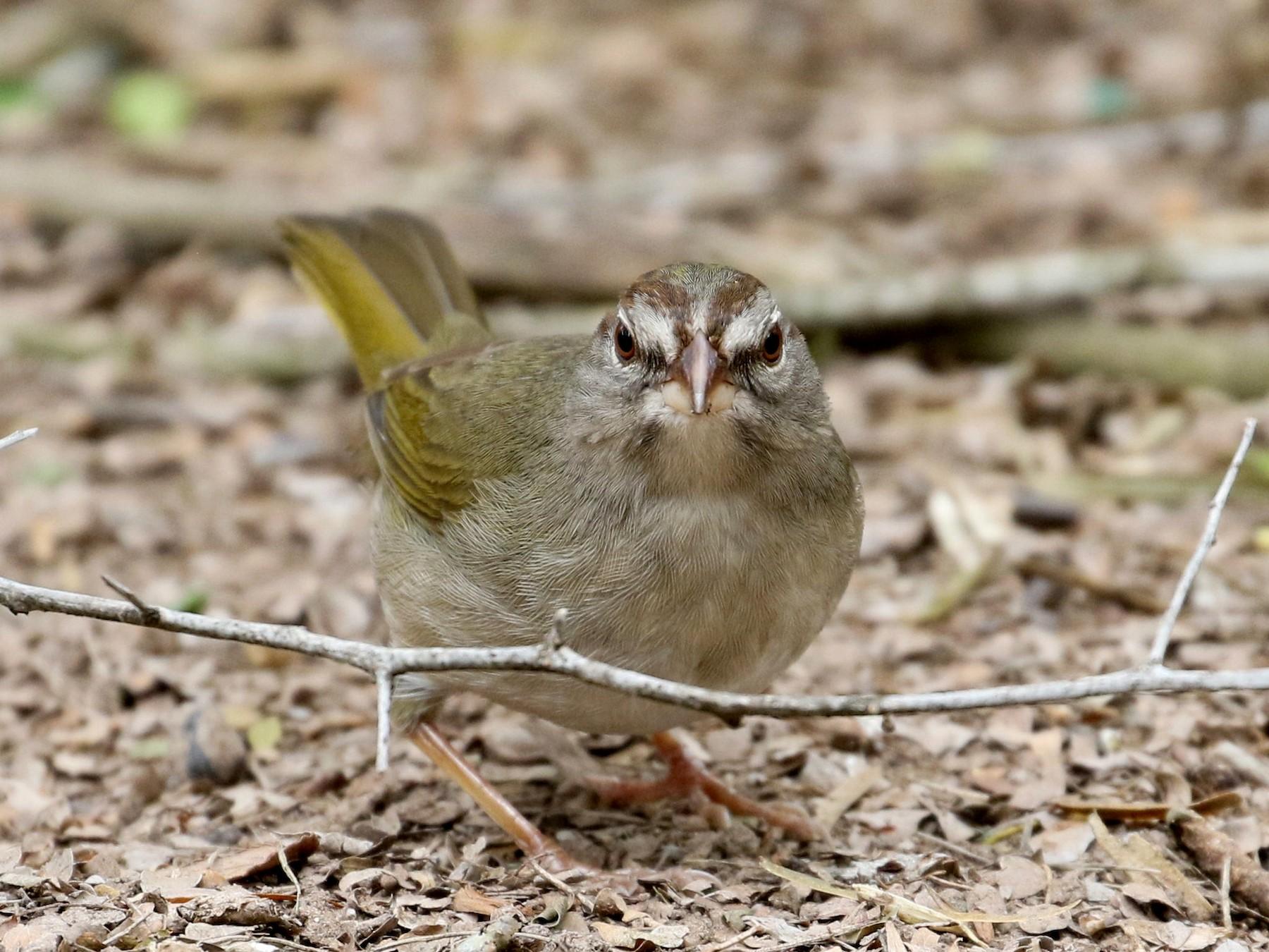 Olive Sparrow - Casey Weissburg