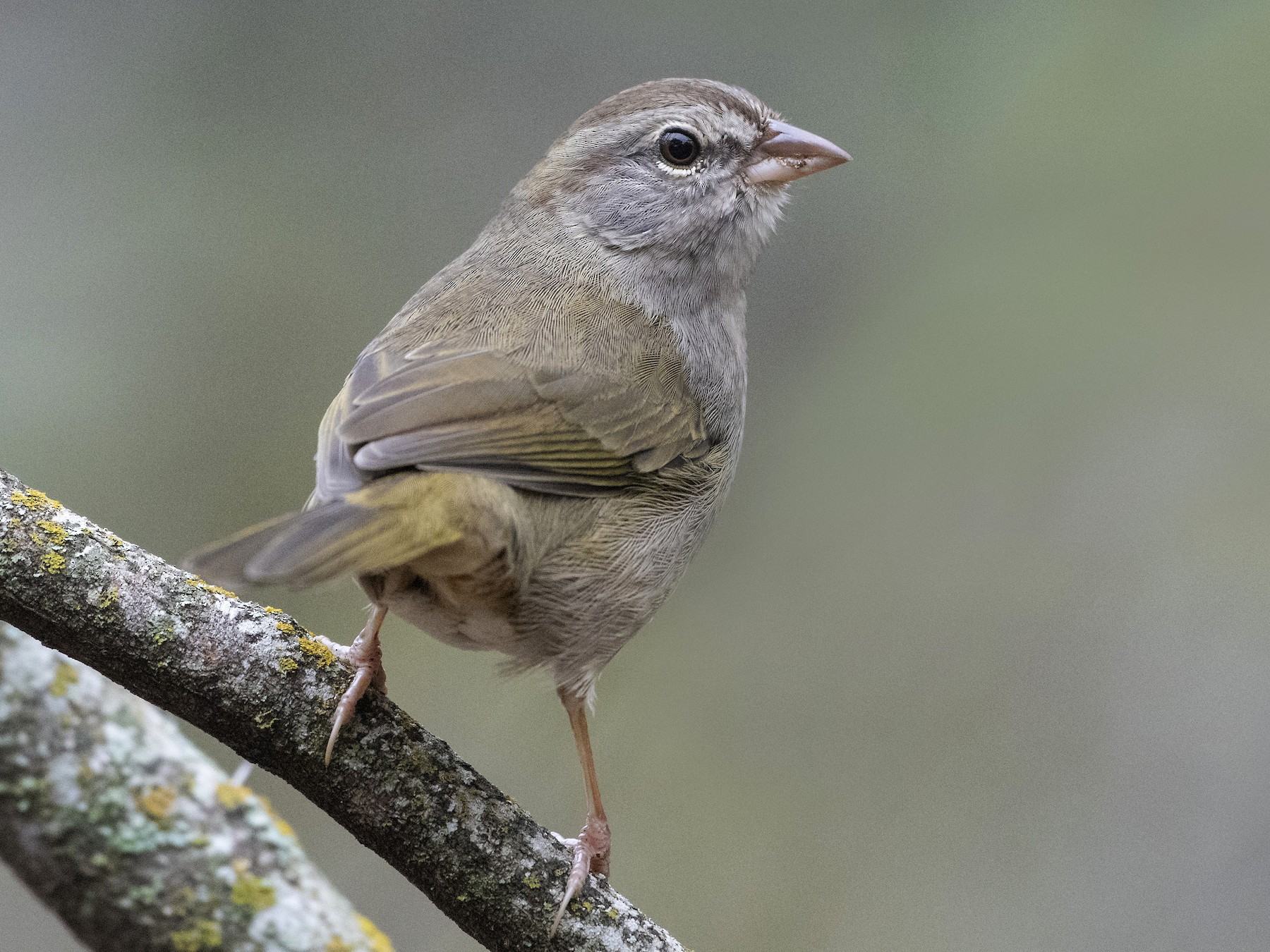 Olive Sparrow - Bryan Calk