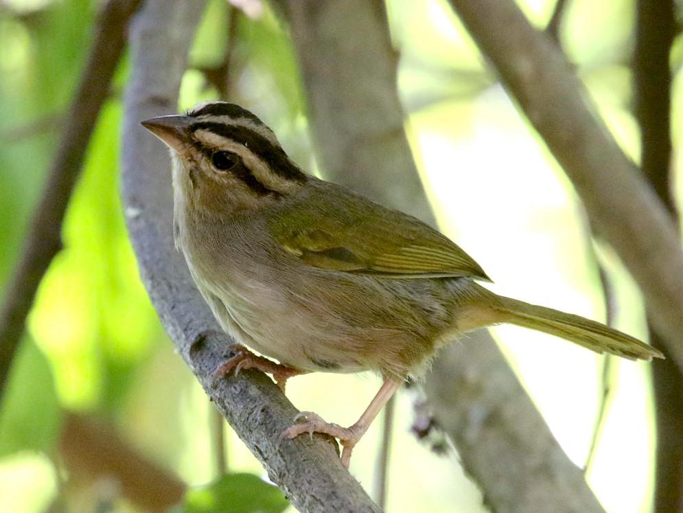 Olive Sparrow - Noah Strycker