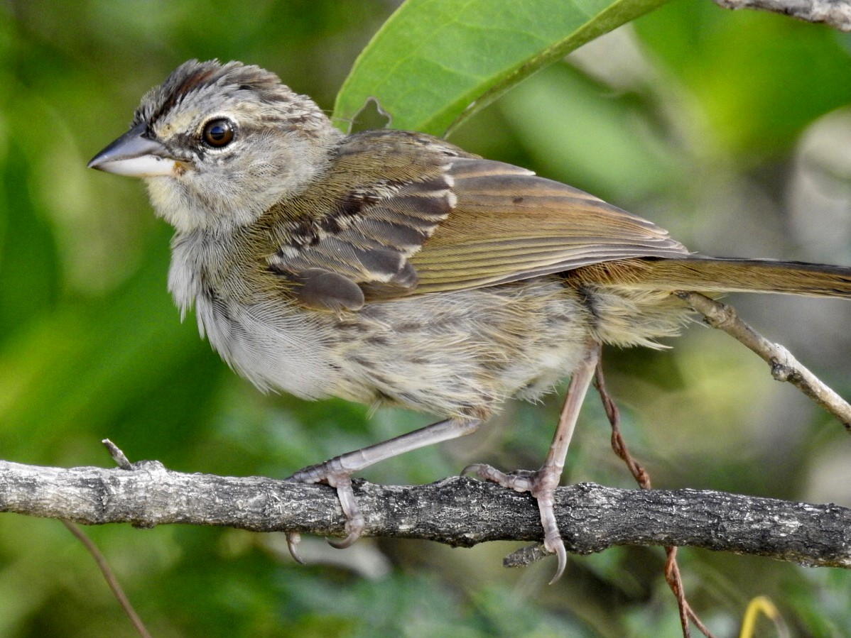 Olive Sparrow - Jane Crawford