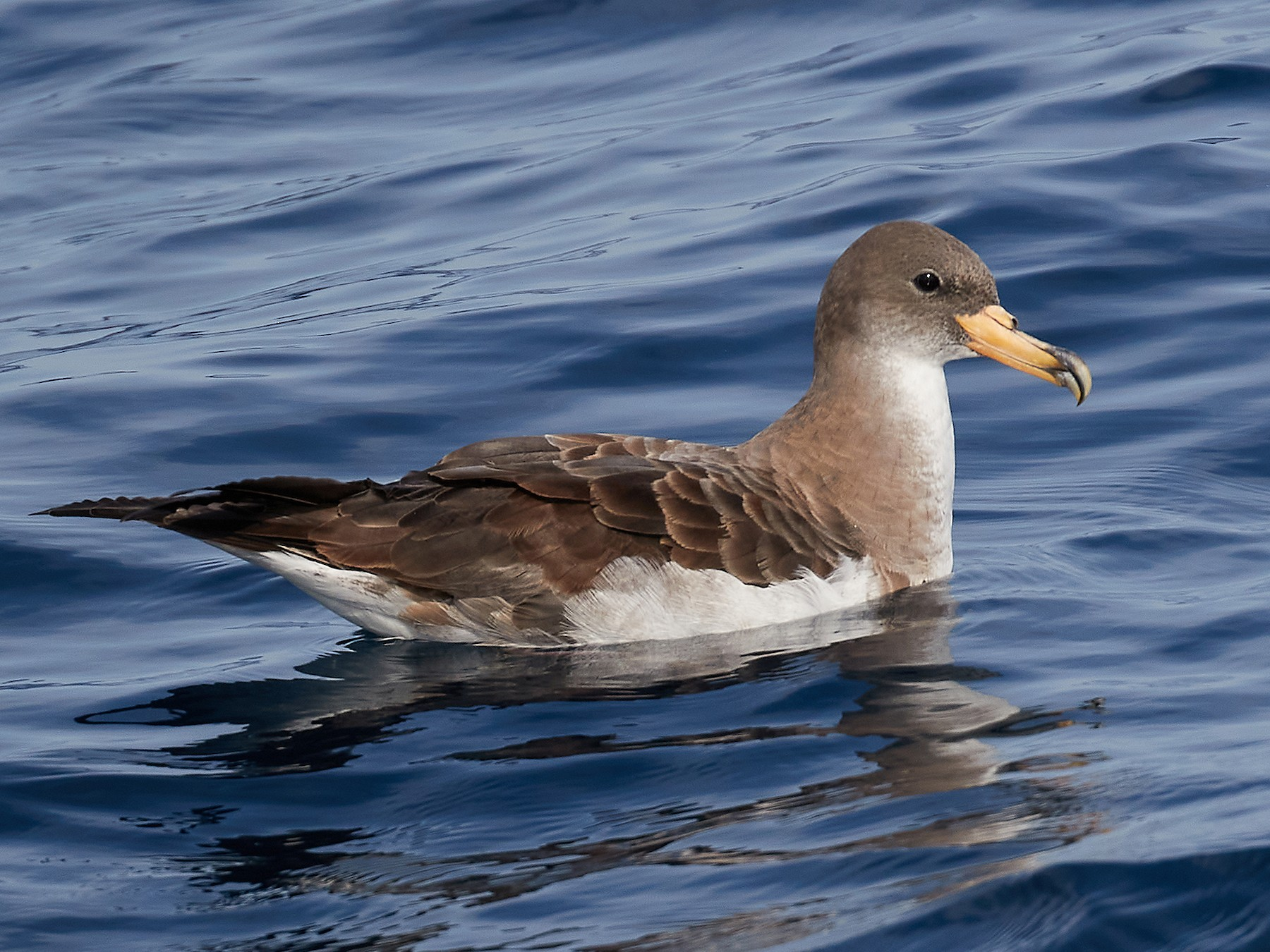 Cory's Shearwater - Miguel Rouco