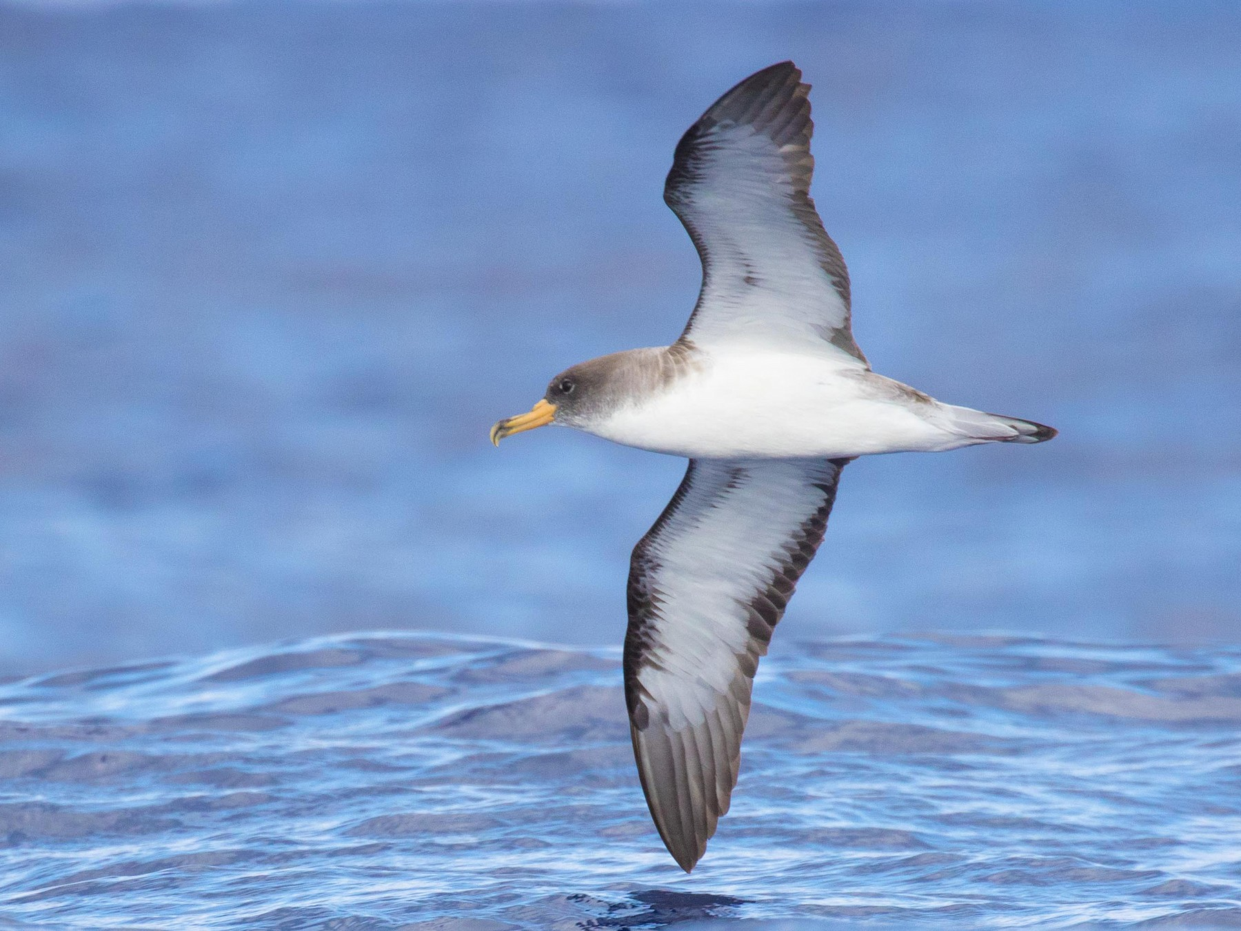 Cory's Shearwater - Tom Bedford