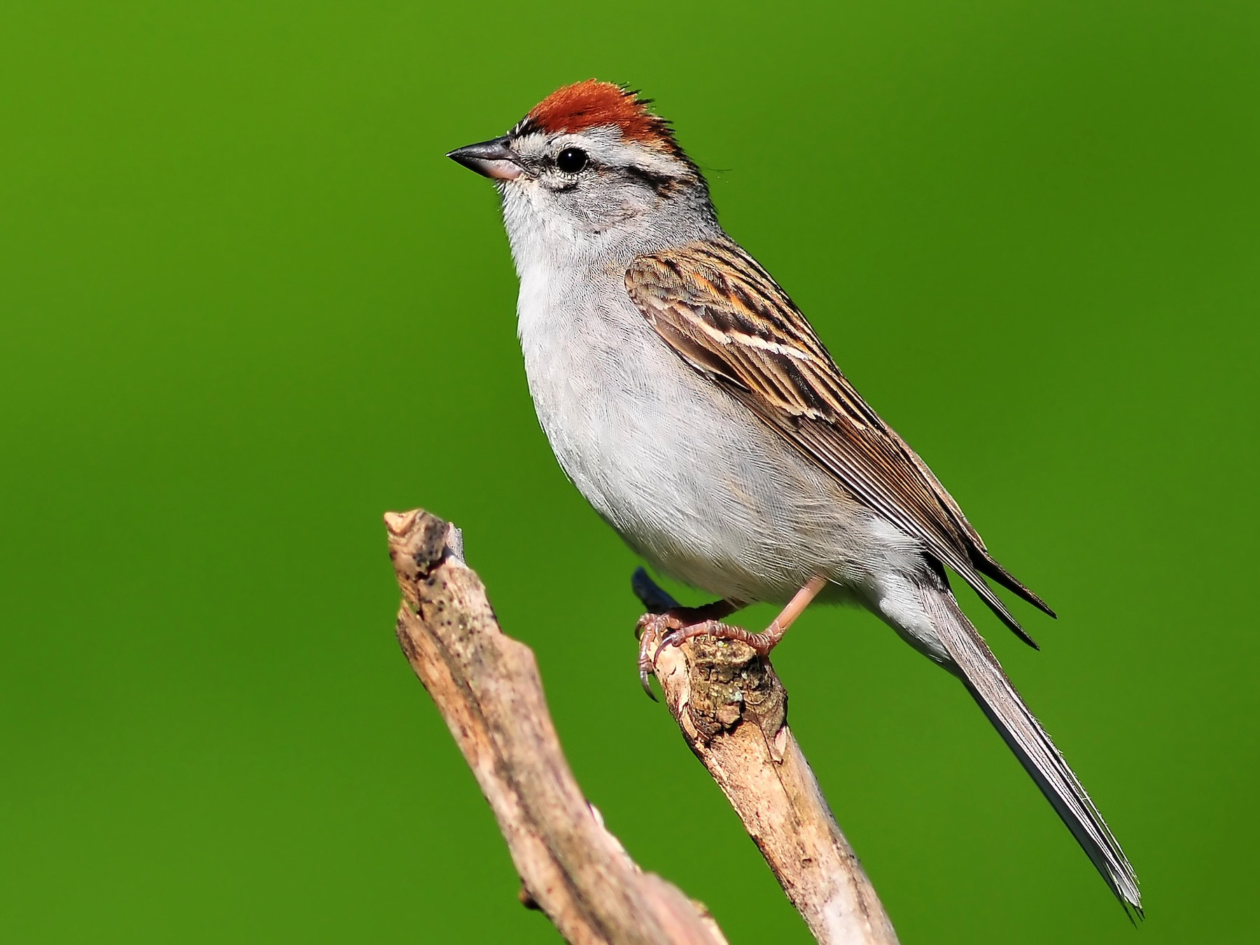 Chipping Sparrow - Malcolm Gold