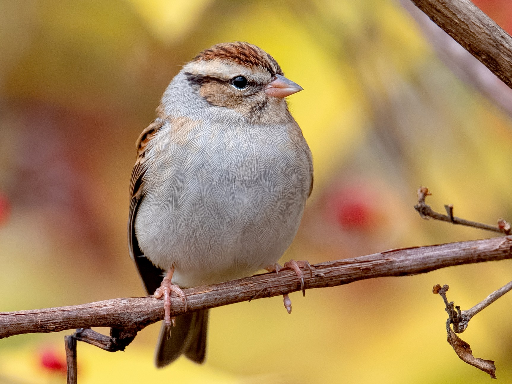Chipping Sparrow - Shailesh Pinto