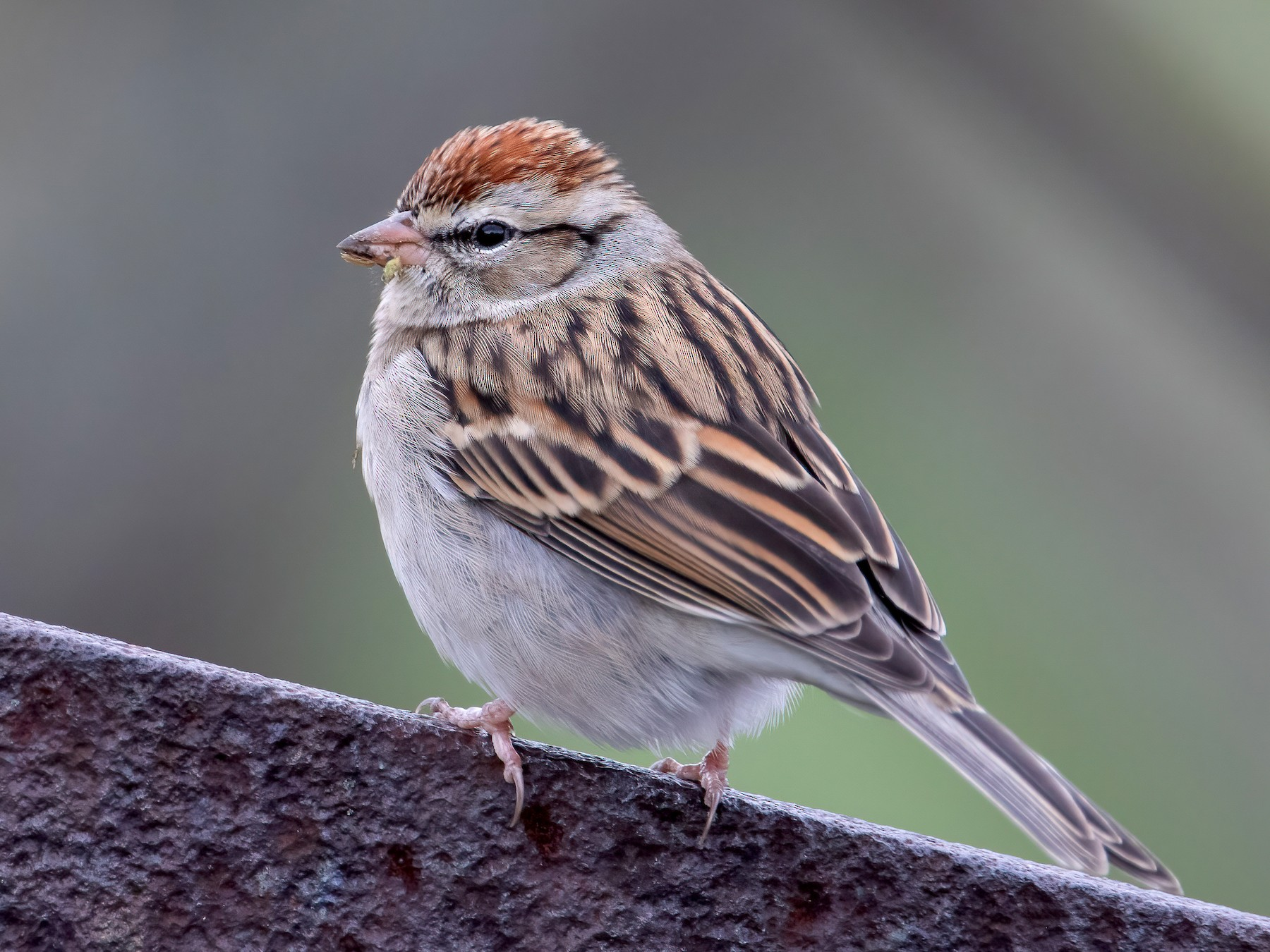 Chipping Sparrow - Blair Dudeck
