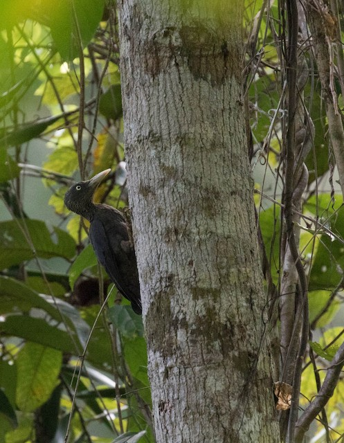 Southern Sooty-Woodpecker