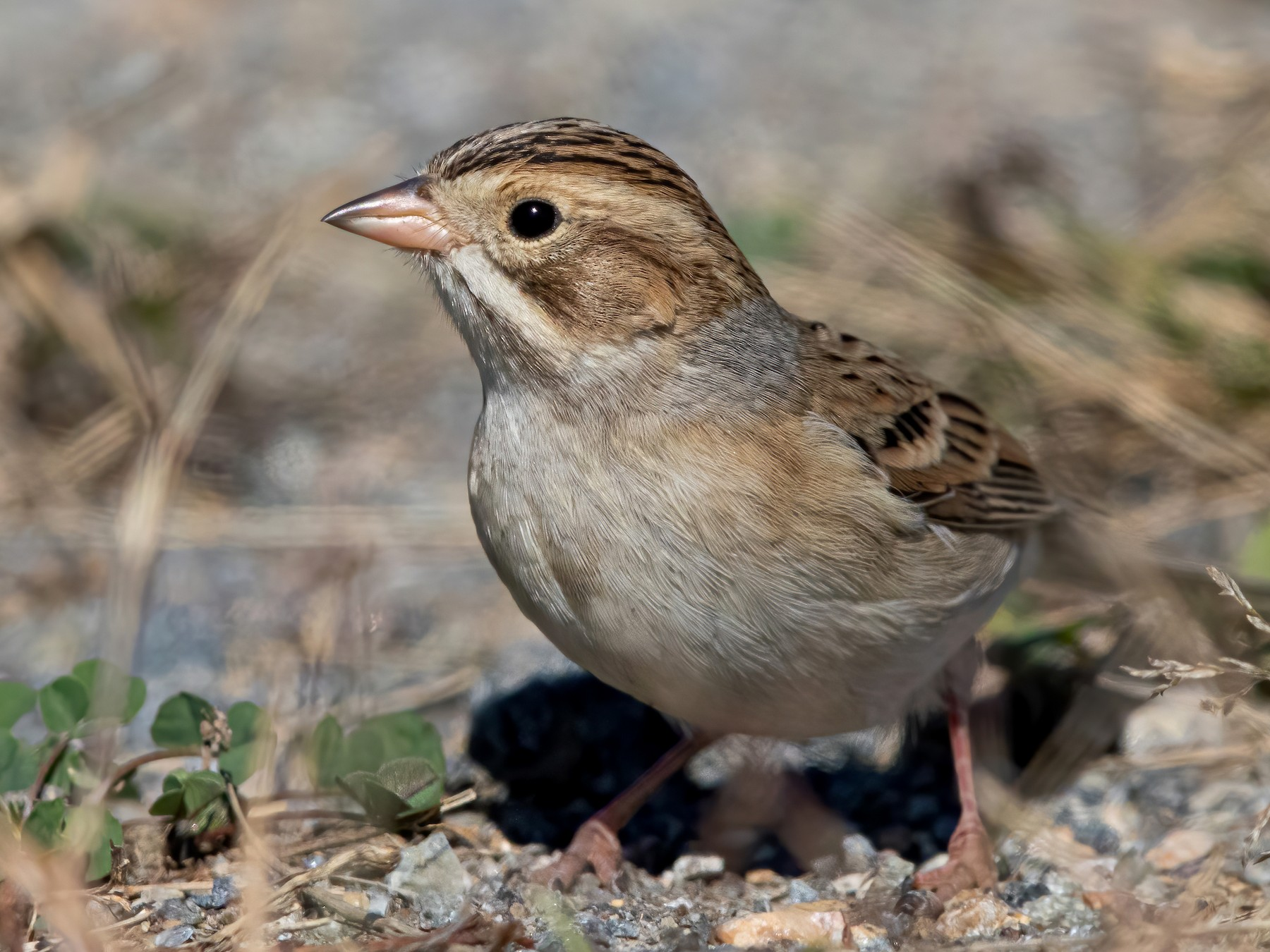 Clay-colored Sparrow - Sam Zhang