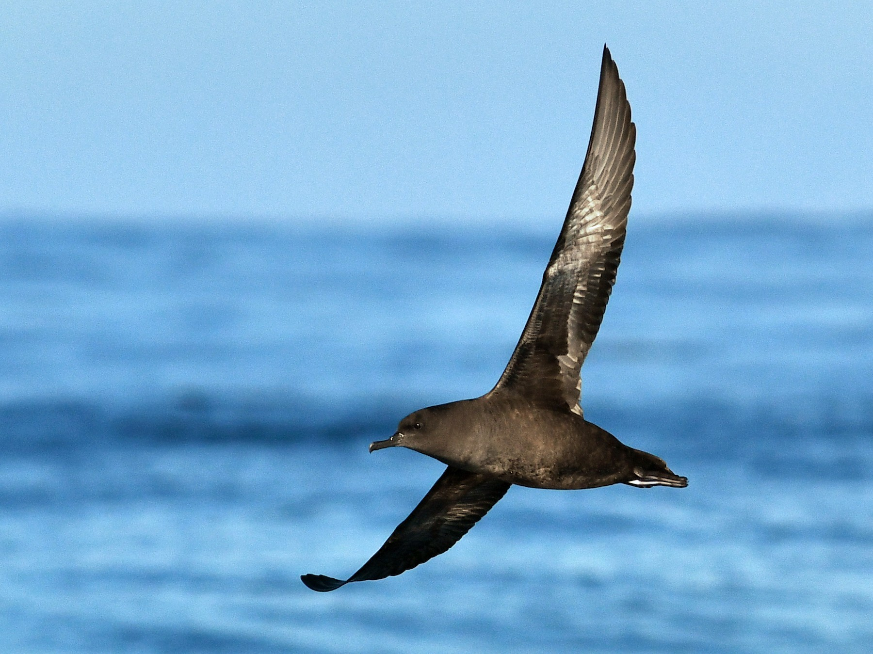 Sooty Shearwater - David M. Bell