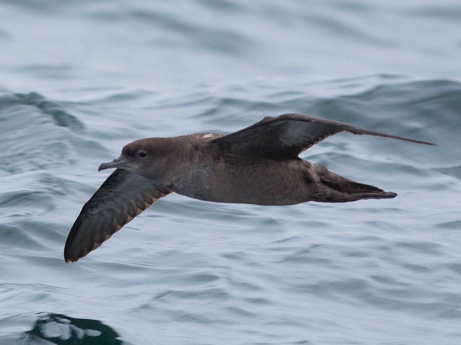 Short-tailed Shearwater - Doug Gochfeld