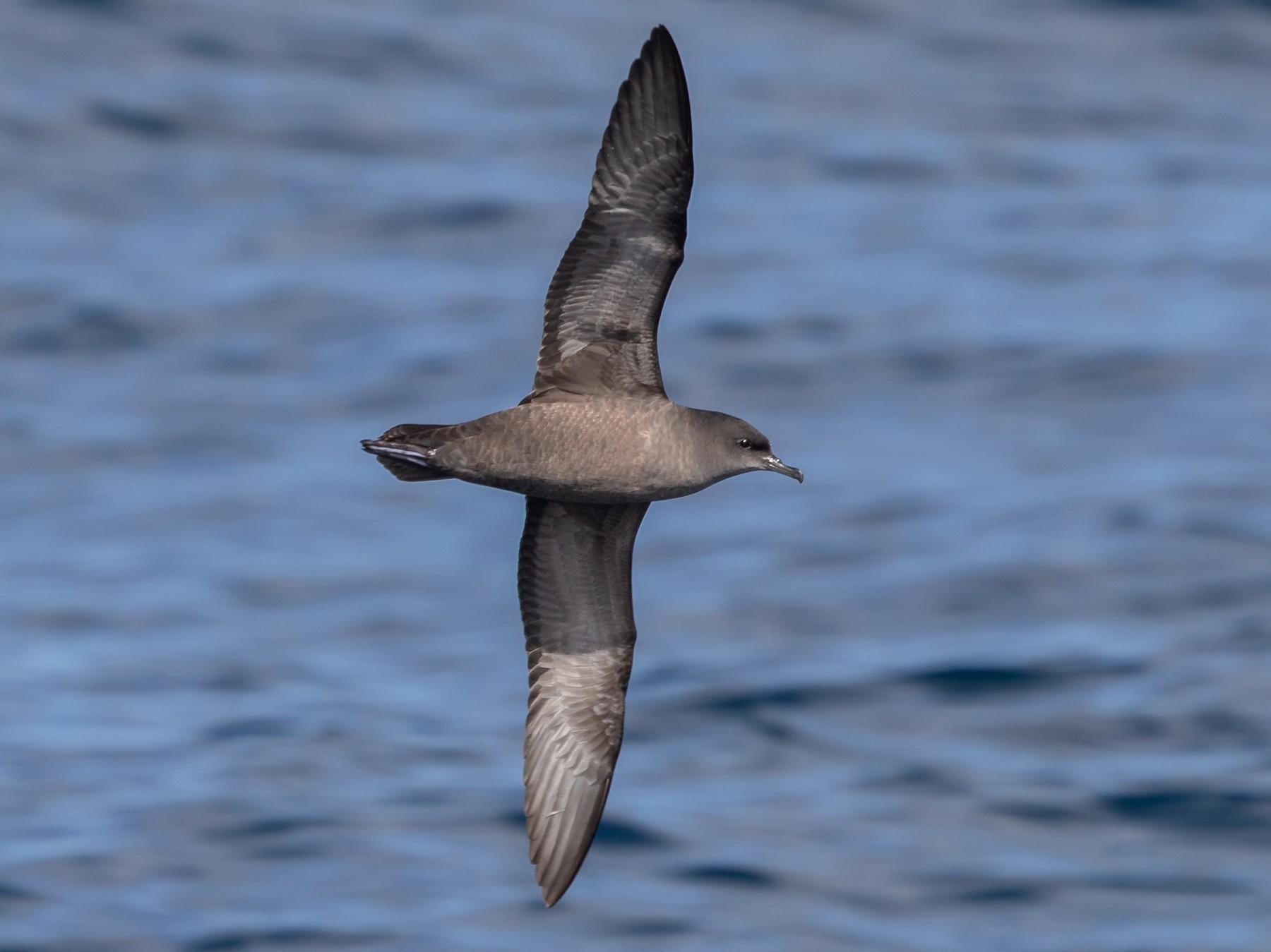 Short-tailed Shearwater - Ramit Singal