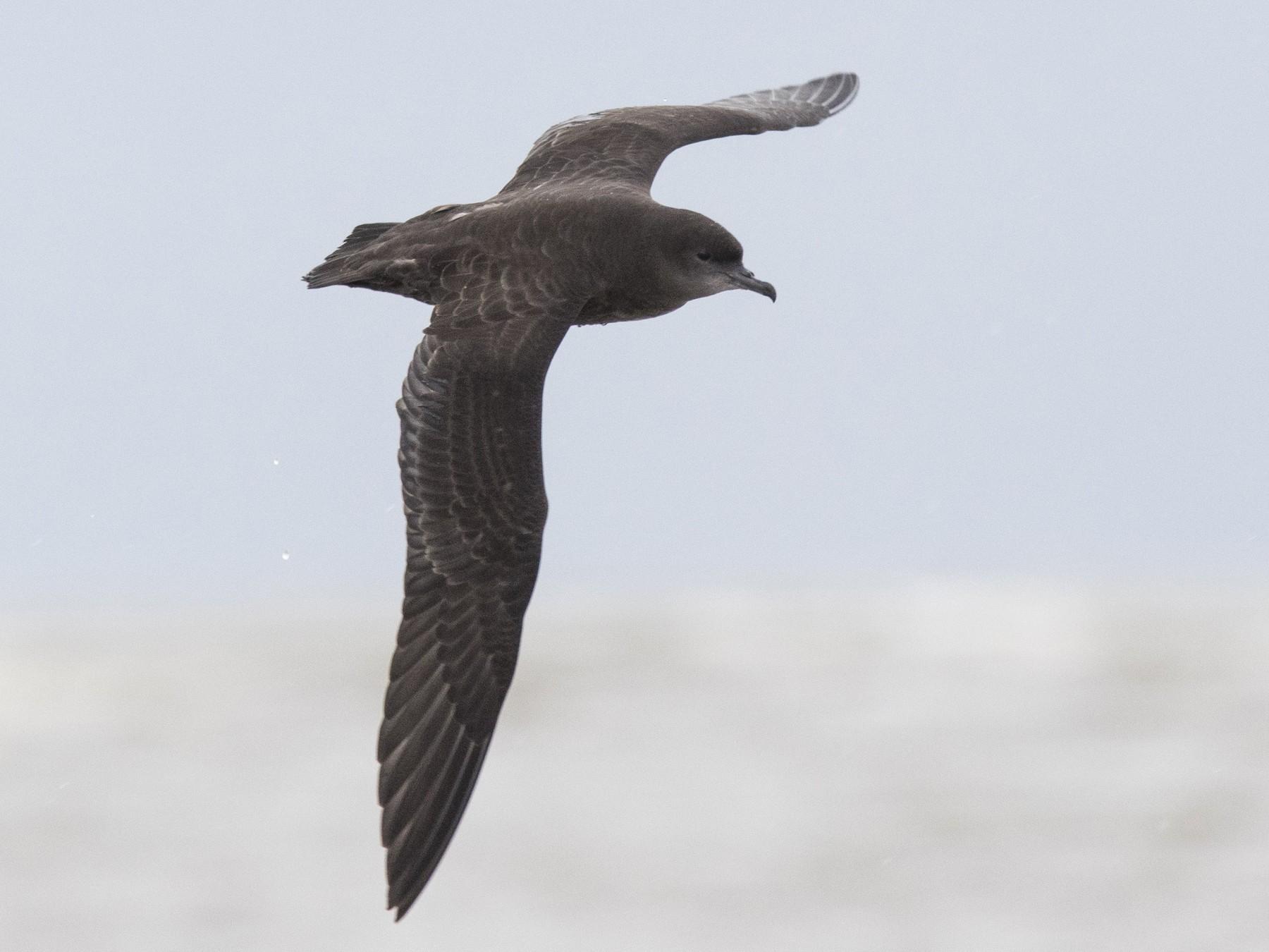 Short-tailed Shearwater - Bryce Robinson