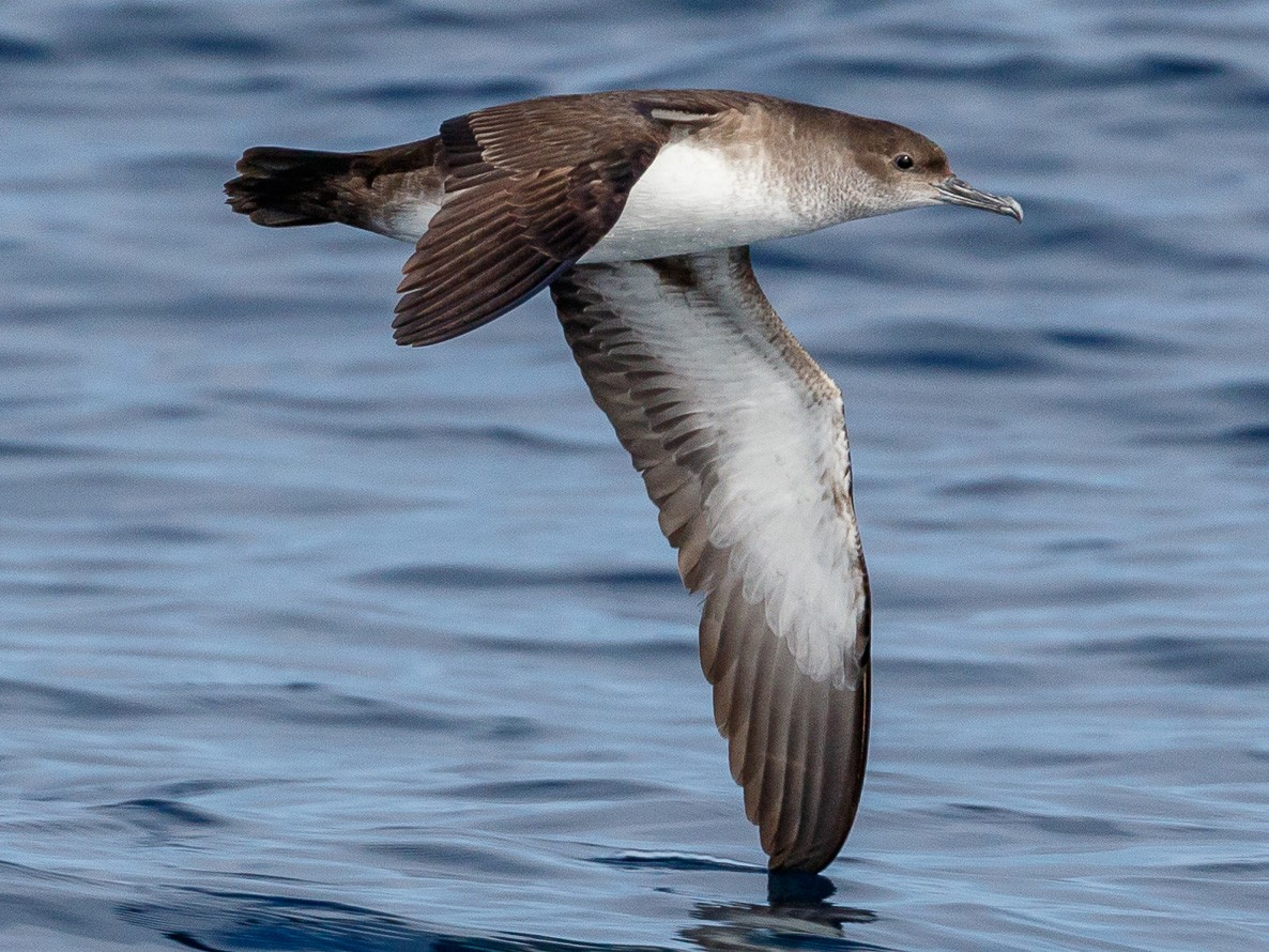 Black-vented Shearwater - Chezy Yusuf