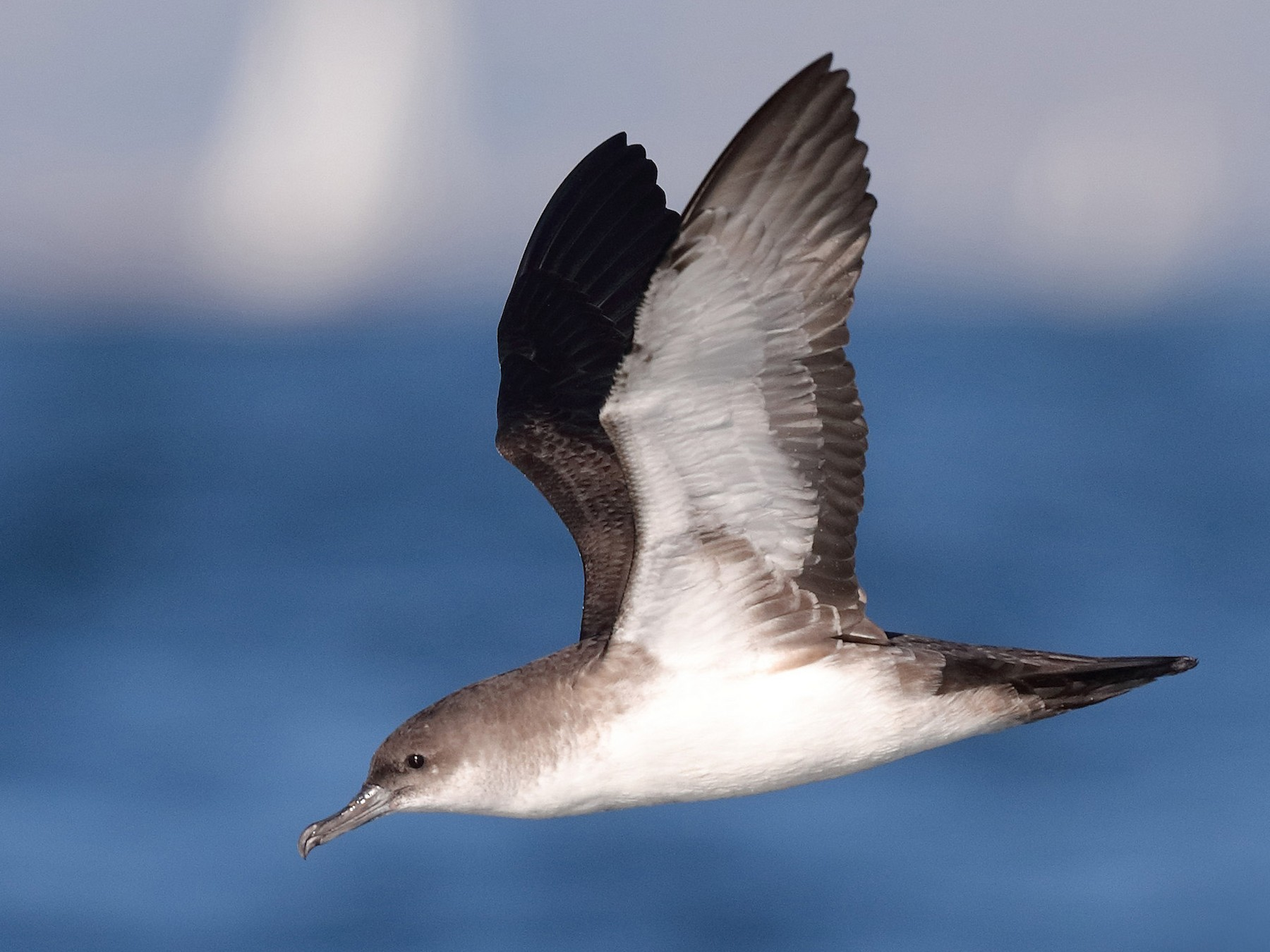 Black-vented Shearwater - Bruce Rideout
