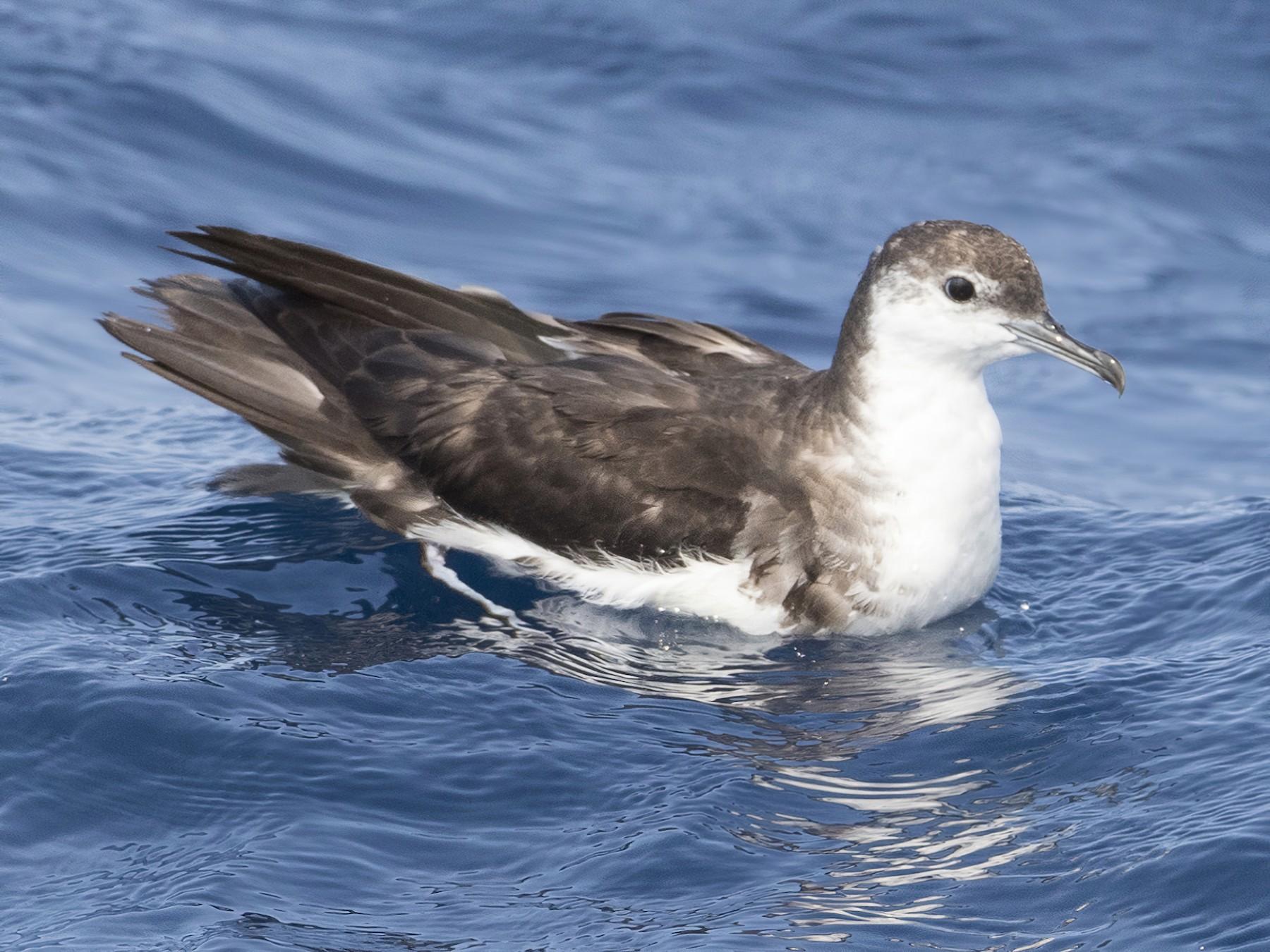 Audubon's Shearwater - Brian Sullivan