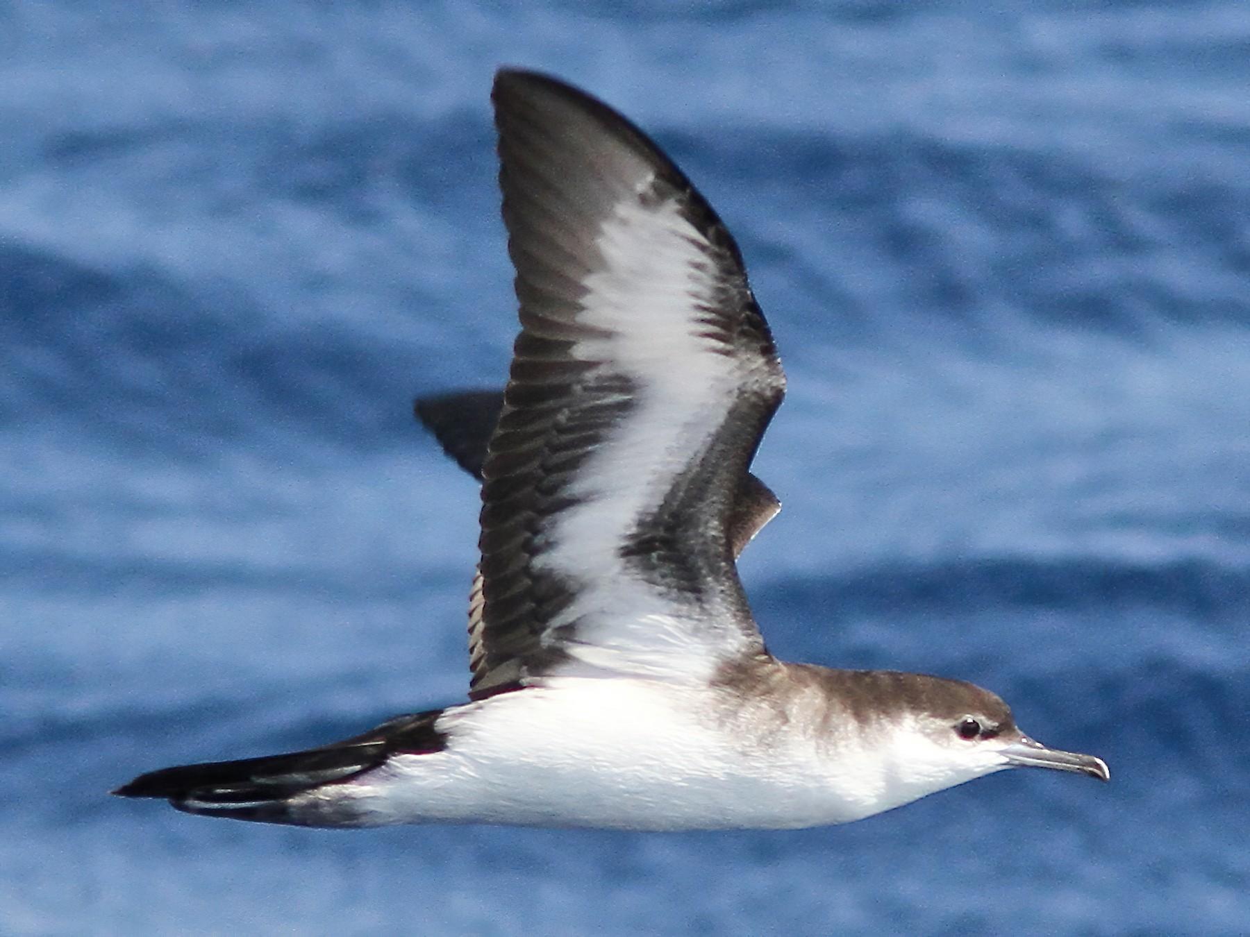 Audubon's Shearwater - Holly Merker