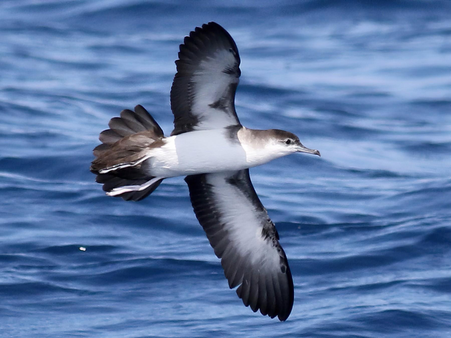Audubon's Shearwater - Jay McGowan