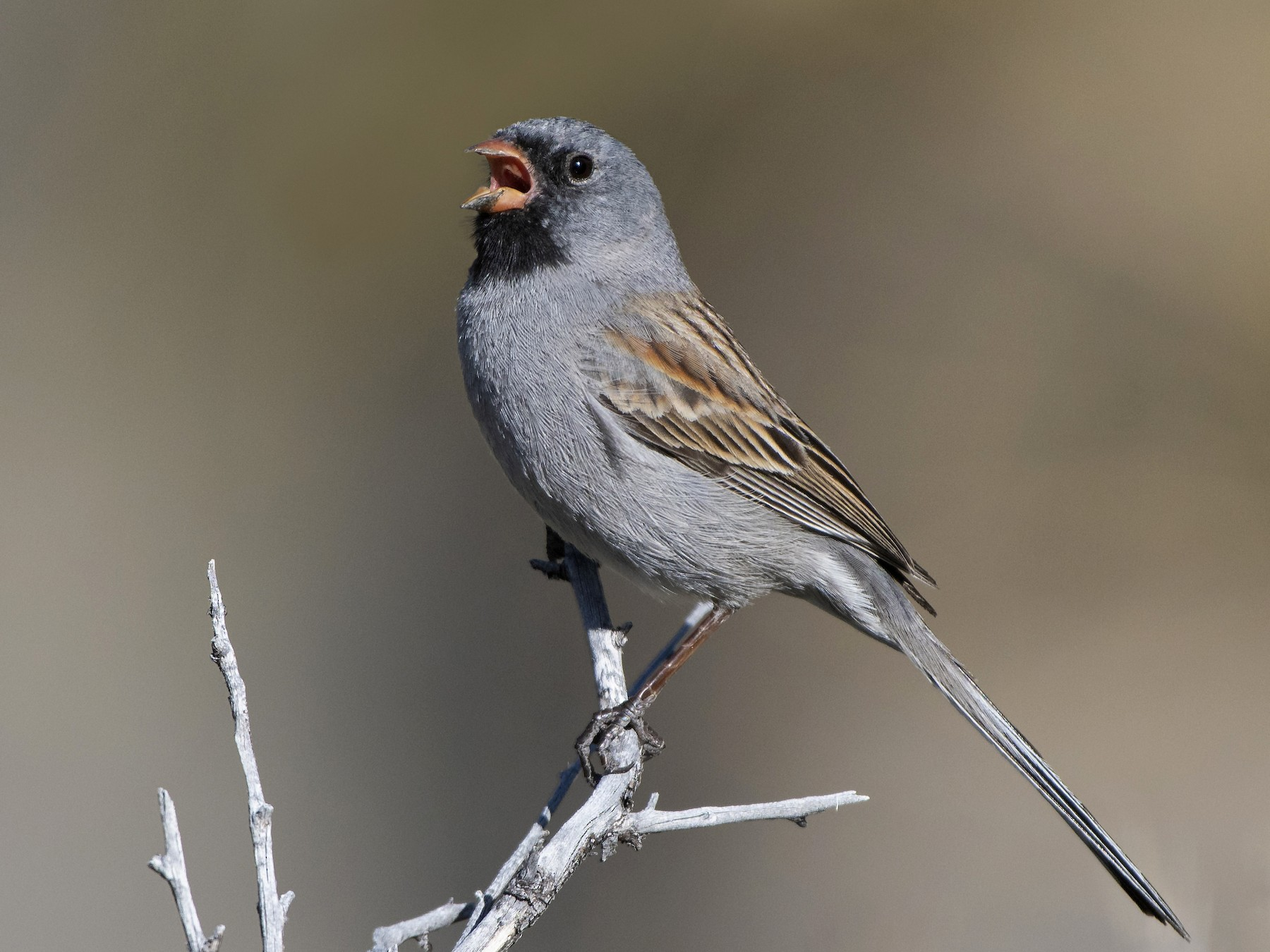 Black-chinned Sparrow - Bryan Calk
