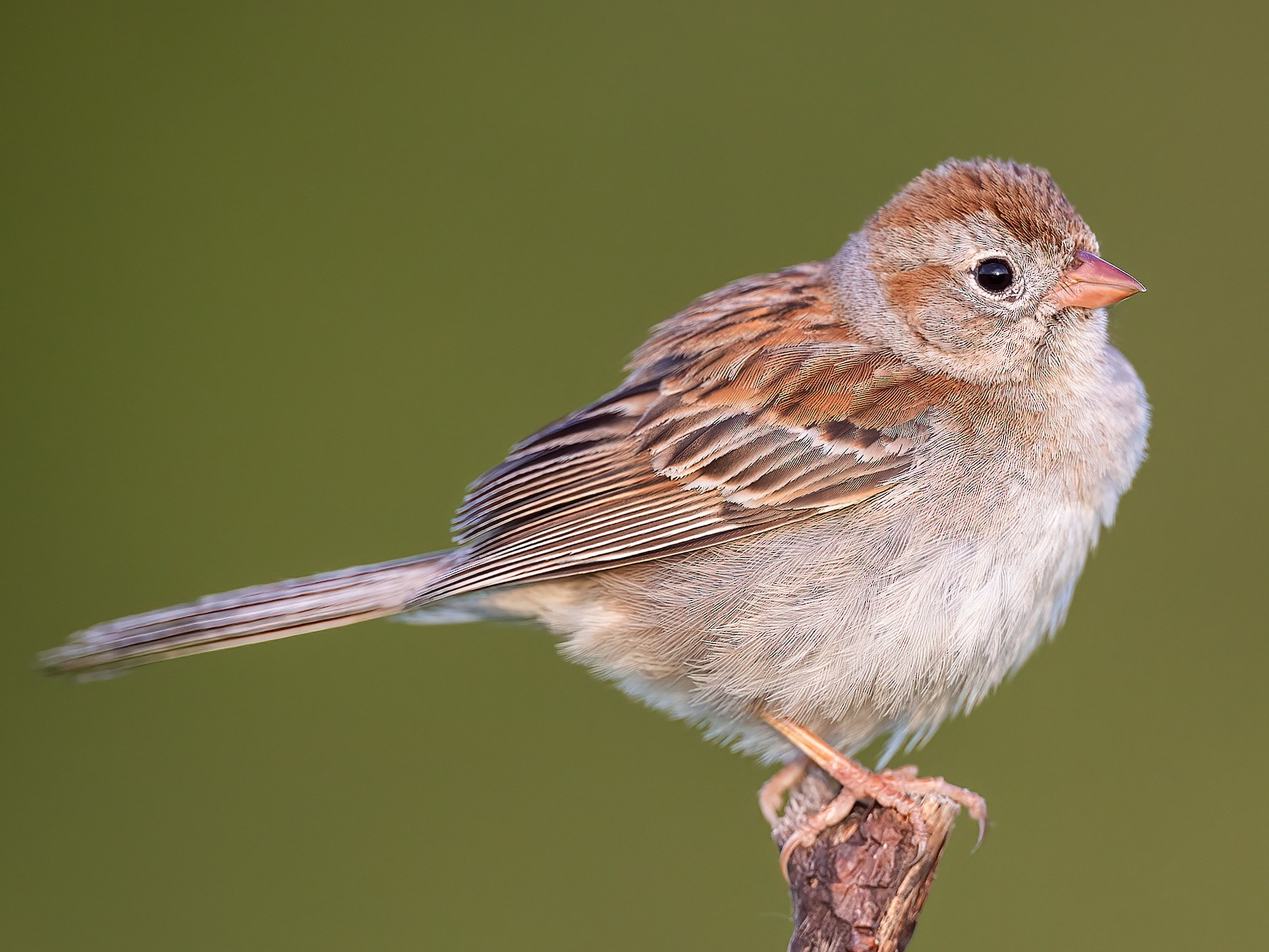 Field Sparrow - Ryan Sanderson