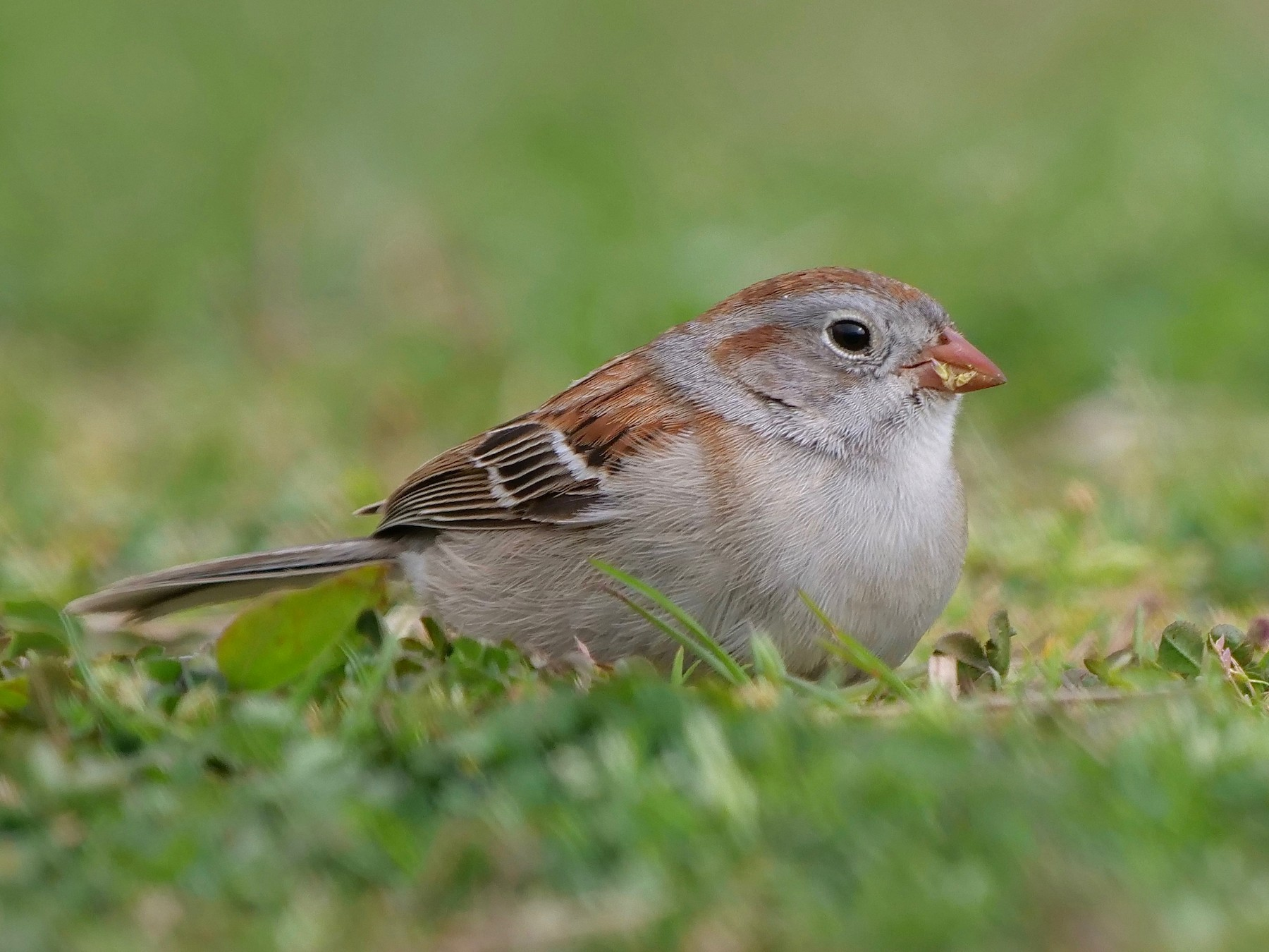Field Sparrow - Gautam Apte