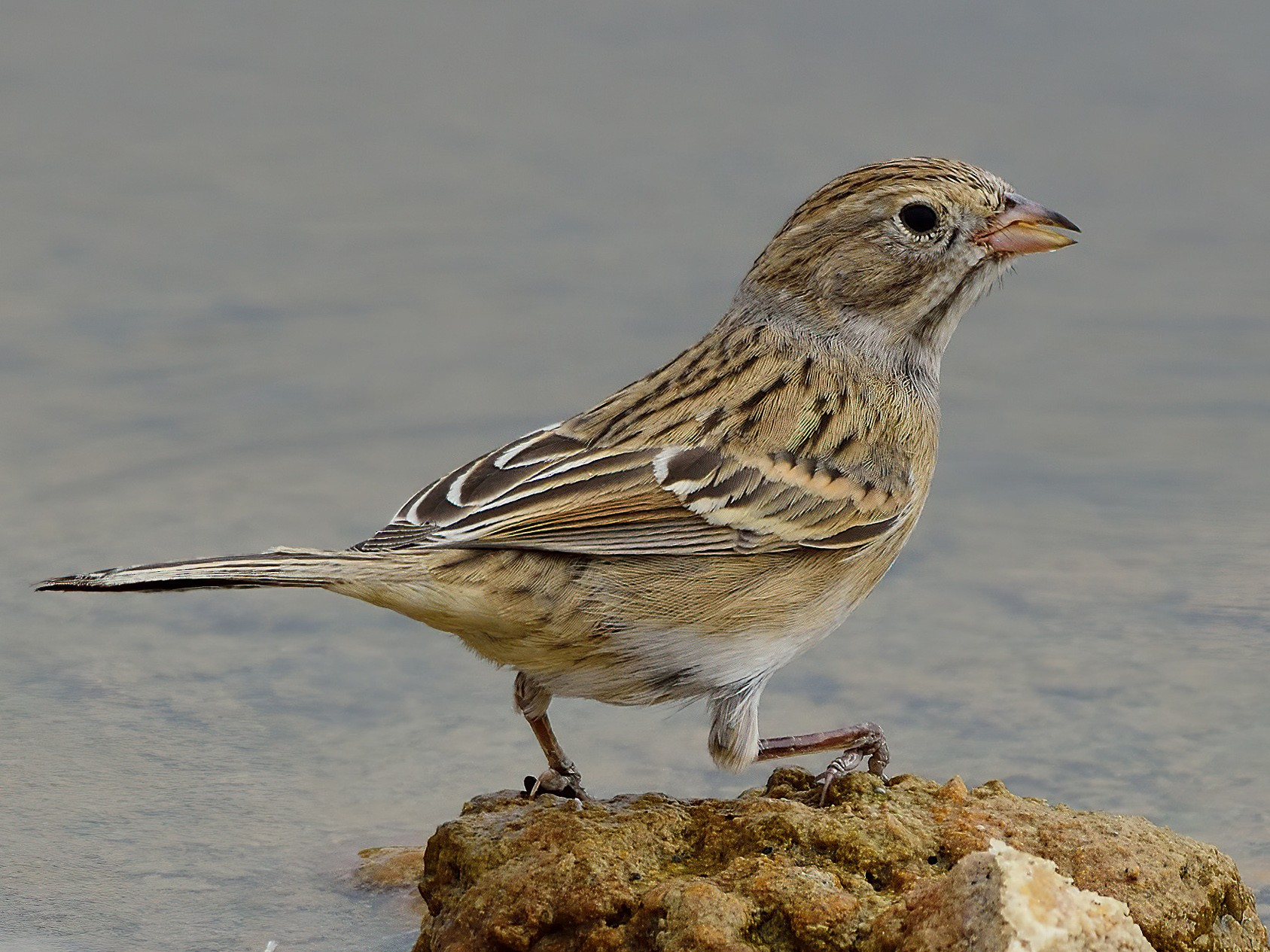 Brewer's Sparrow - Ad Konings