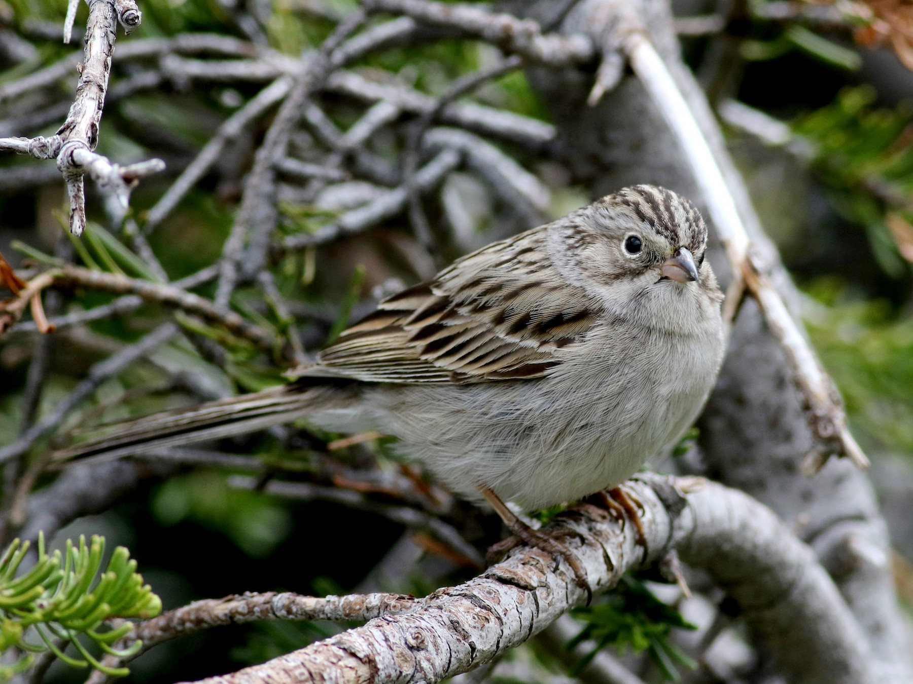 Brewer's Sparrow - Jay McGowan
