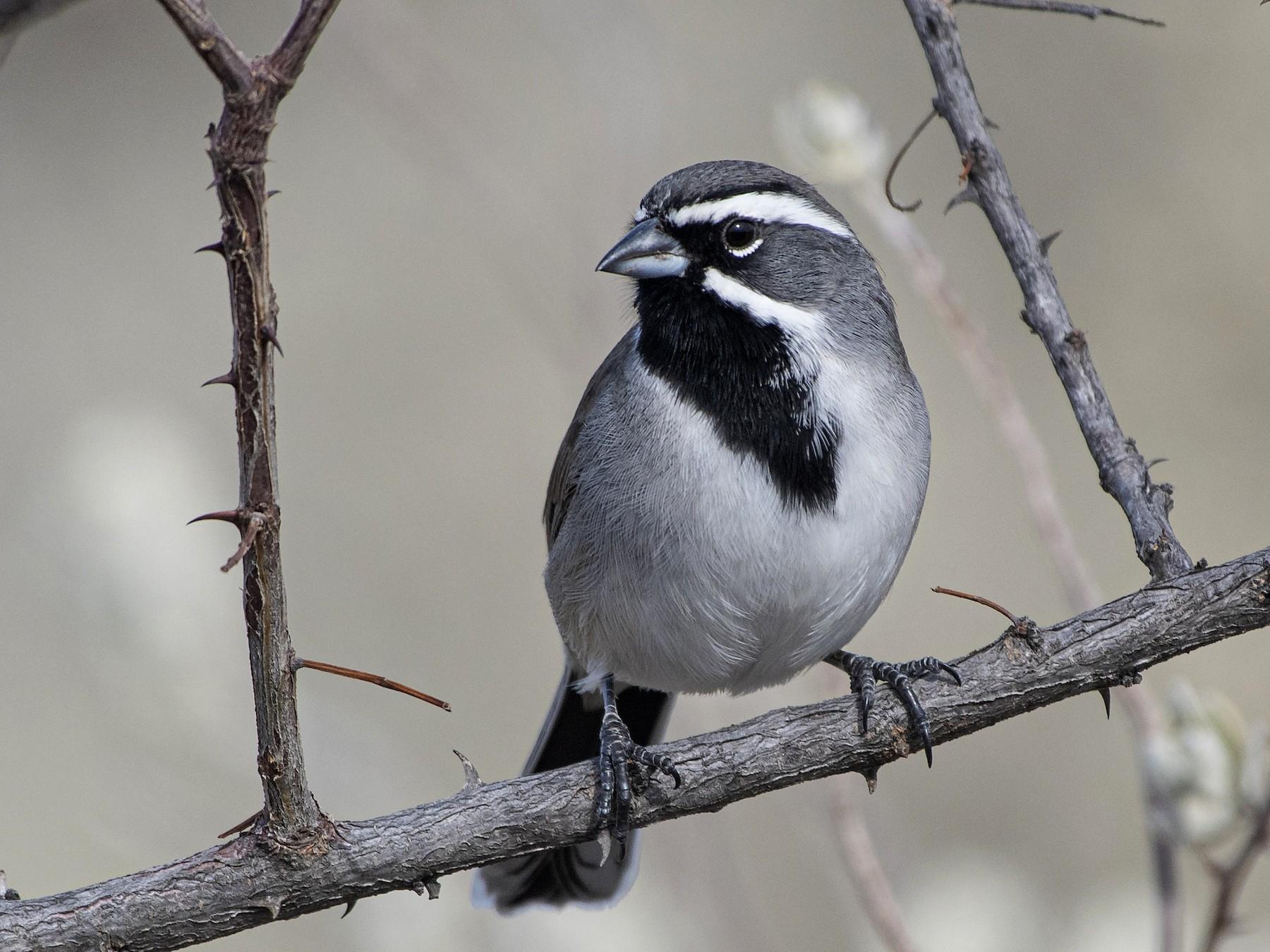 Black-throated Sparrow - Bryan Calk