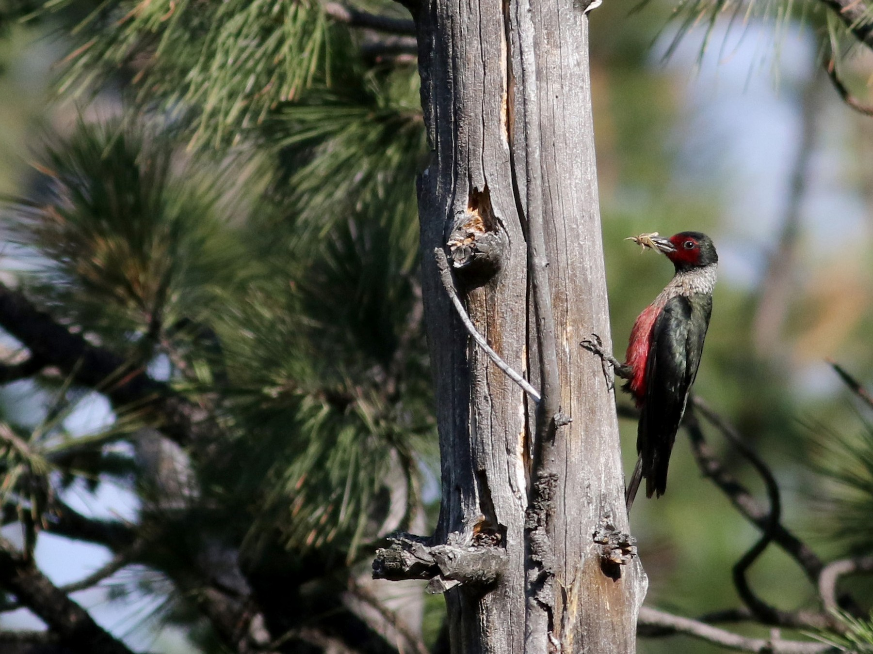 Lewis's Woodpecker - Jay McGowan