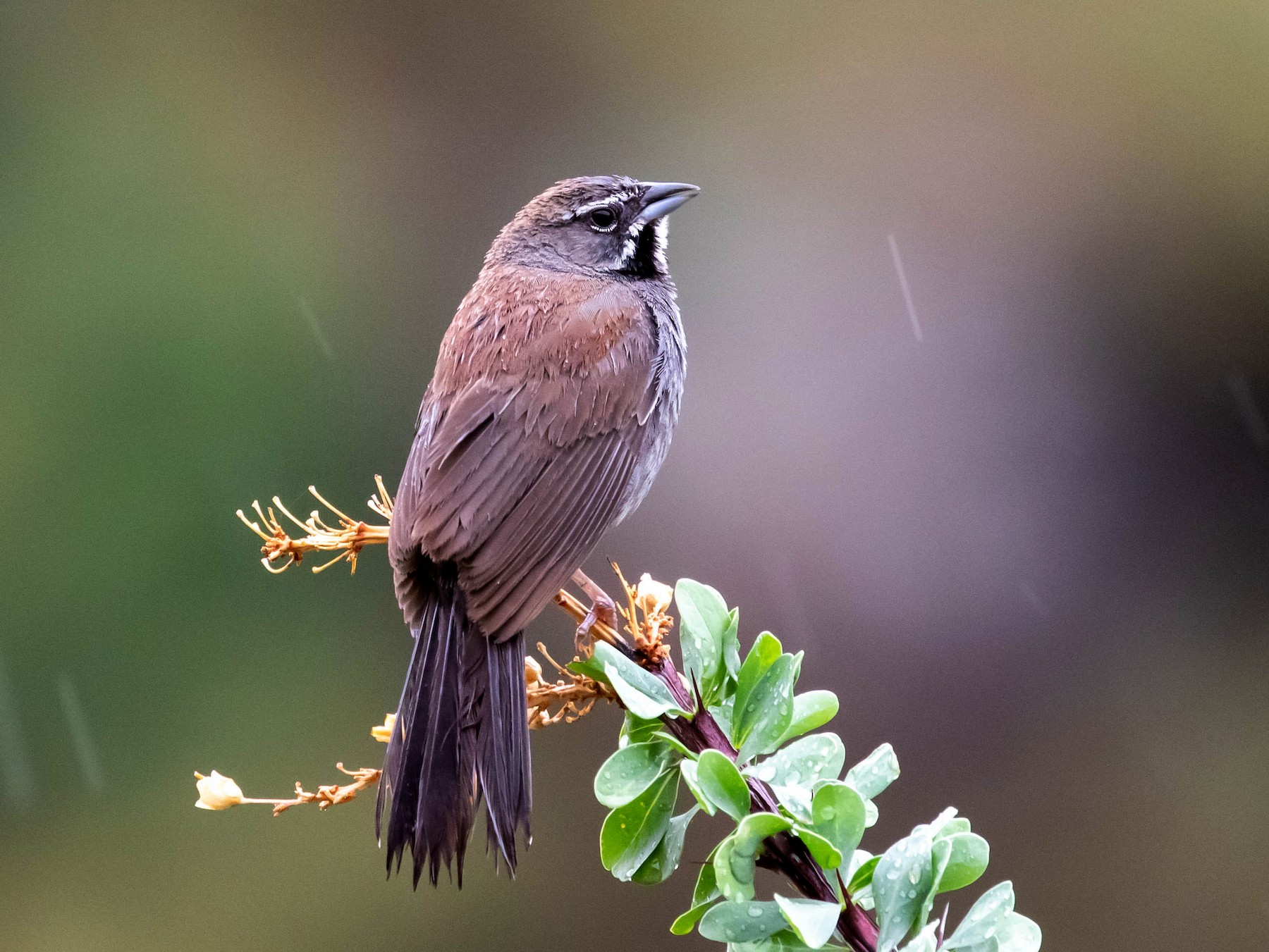 Five-striped Sparrow - Shawn Taylor