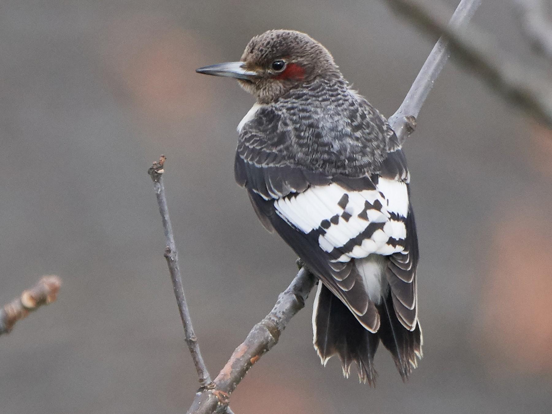 Red-headed Woodpecker - John Sutton